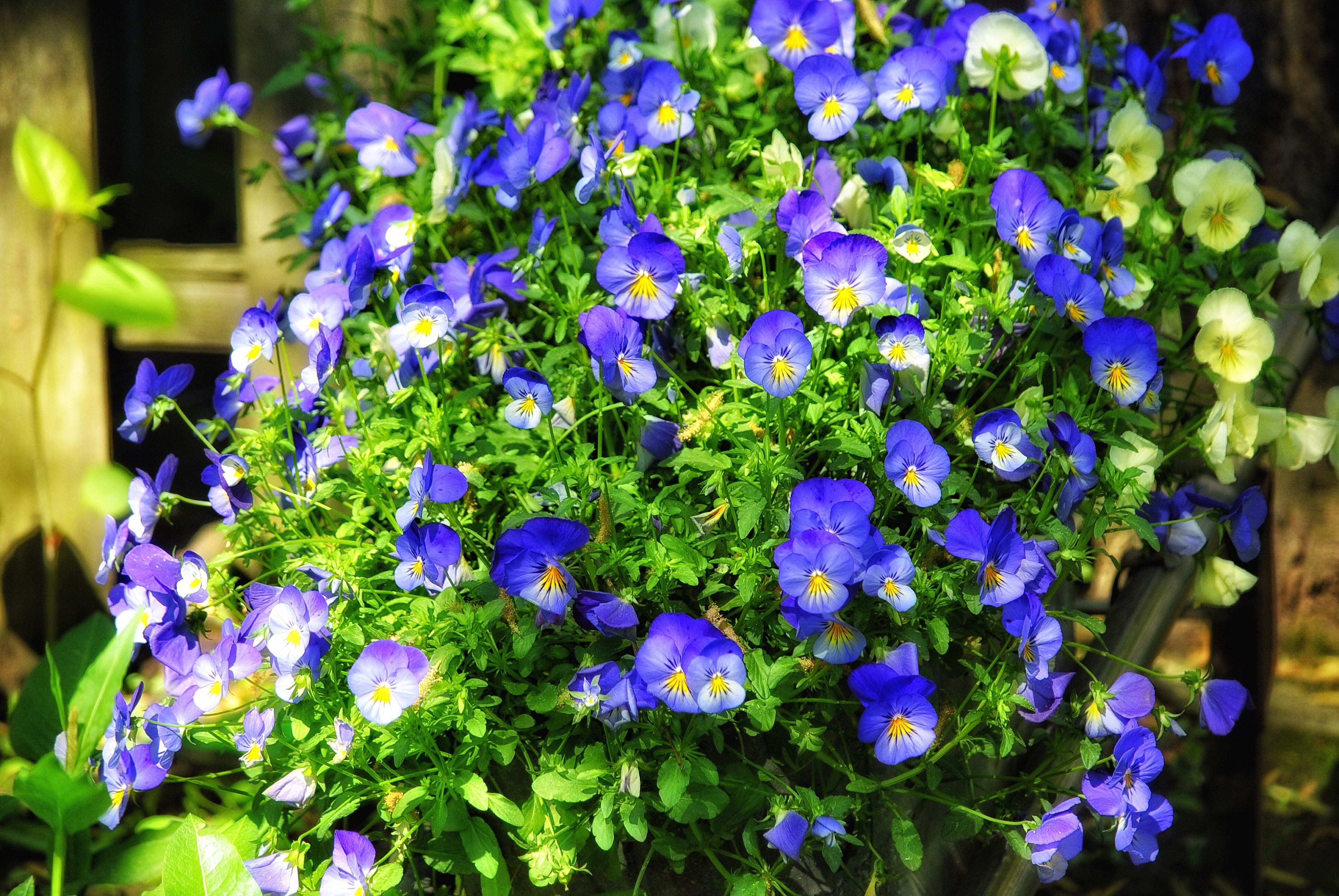 flower, purple, freshness, growth, fragility, beauty in nature, petal, plant, blooming, nature, flower head, close-up, in bloom, focus on foreground, park - man made space, blue, leaf, field, botany, high angle view