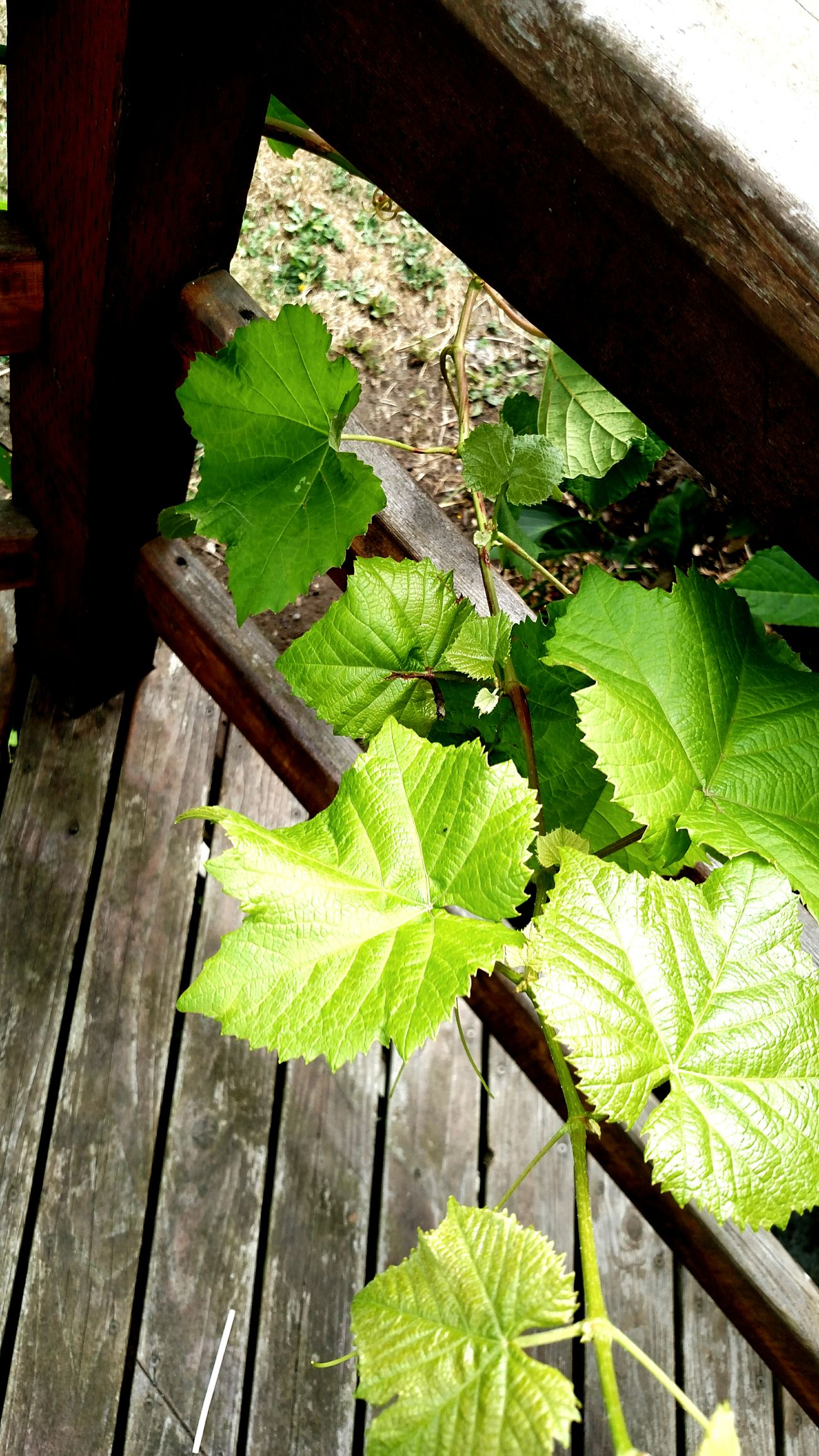 Creepingvines Grape