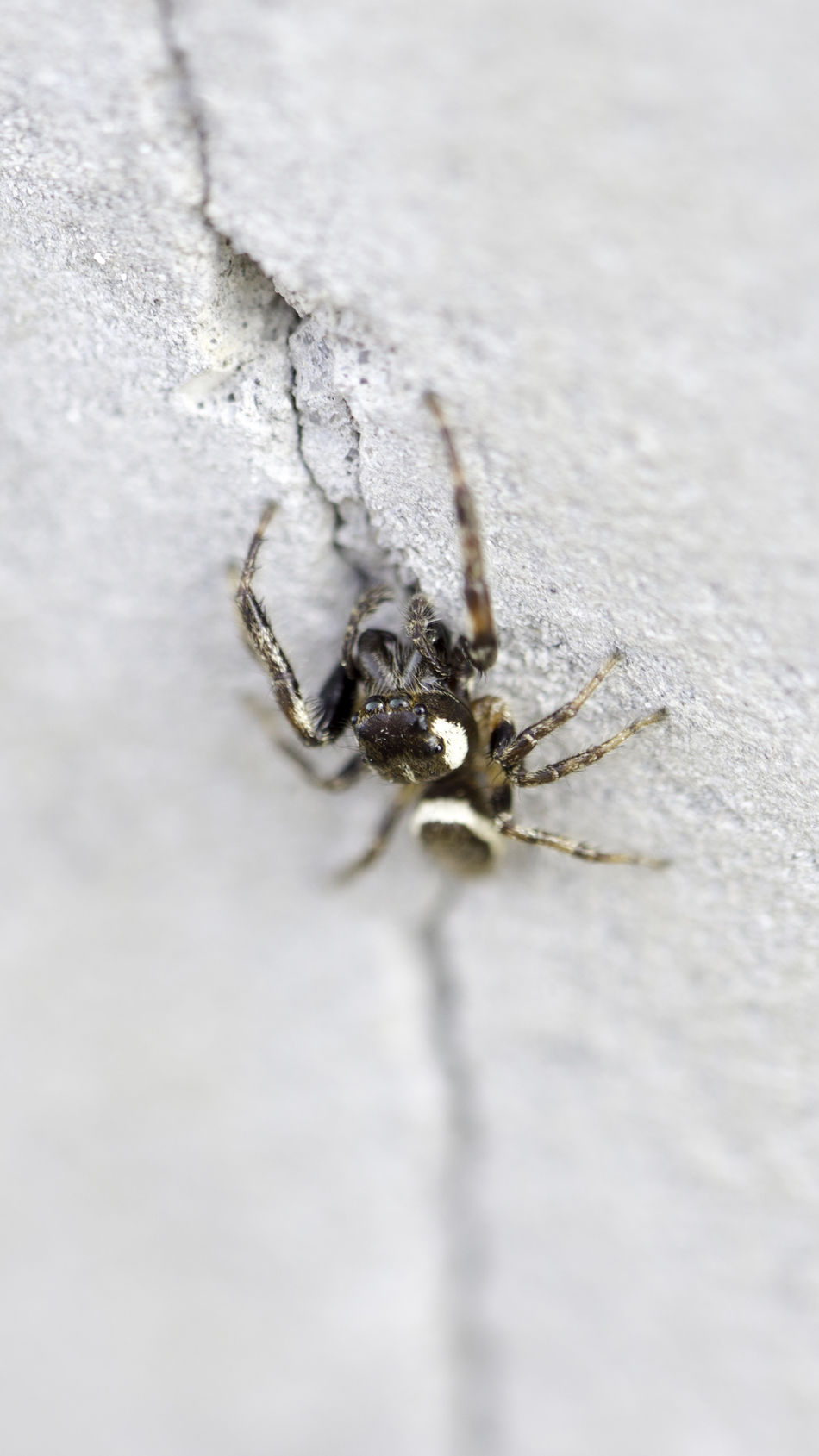 Close-up Insect Jumping Spider Macro Macro Spider Nature Spider Spider