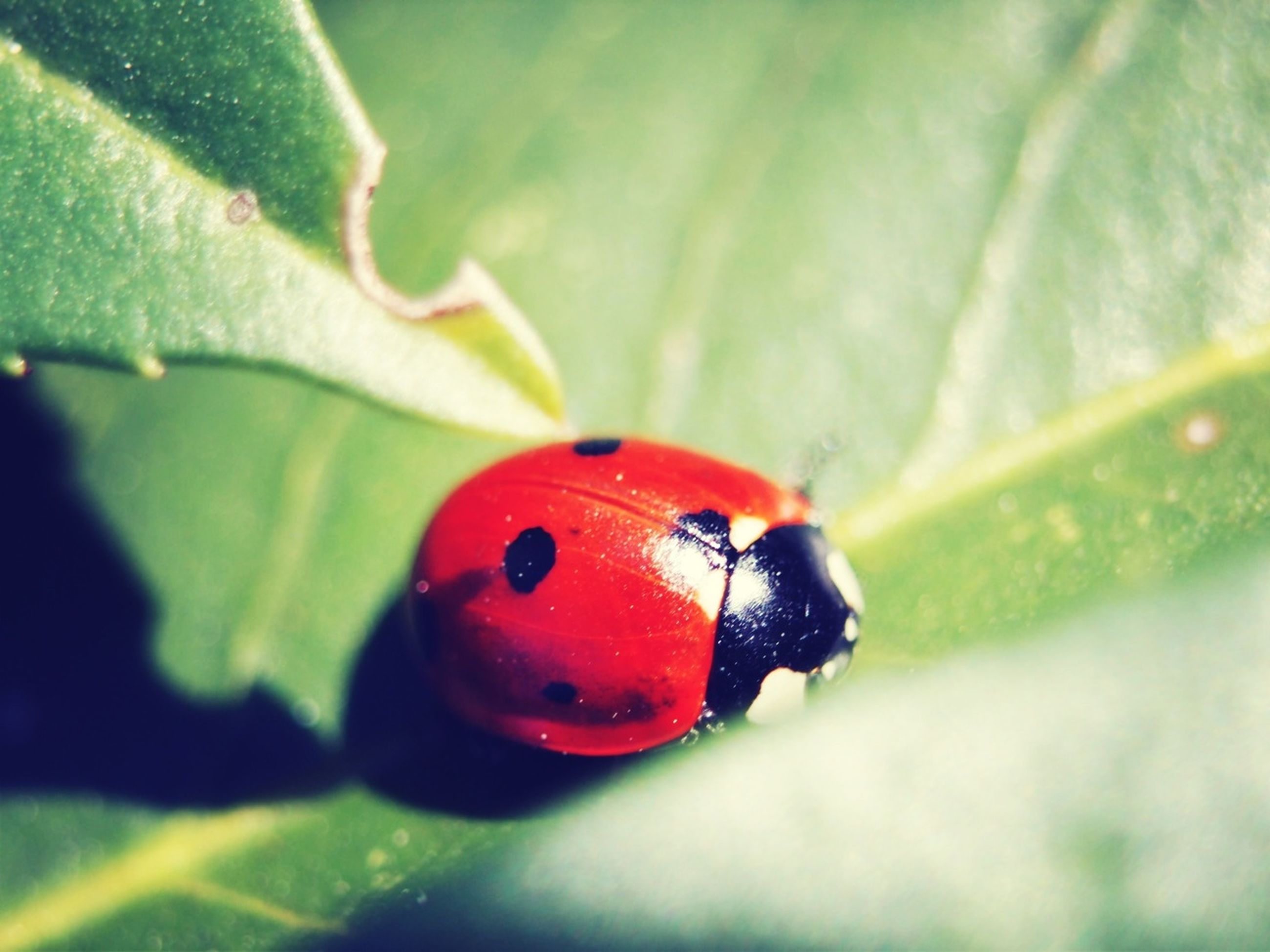 red, insect, ladybug, animal themes, one animal, animals in the wild, leaf, close-up, wildlife, green color, focus on foreground, selective focus, nature, fruit, spotted, plant, day, growth, no people, beauty in nature