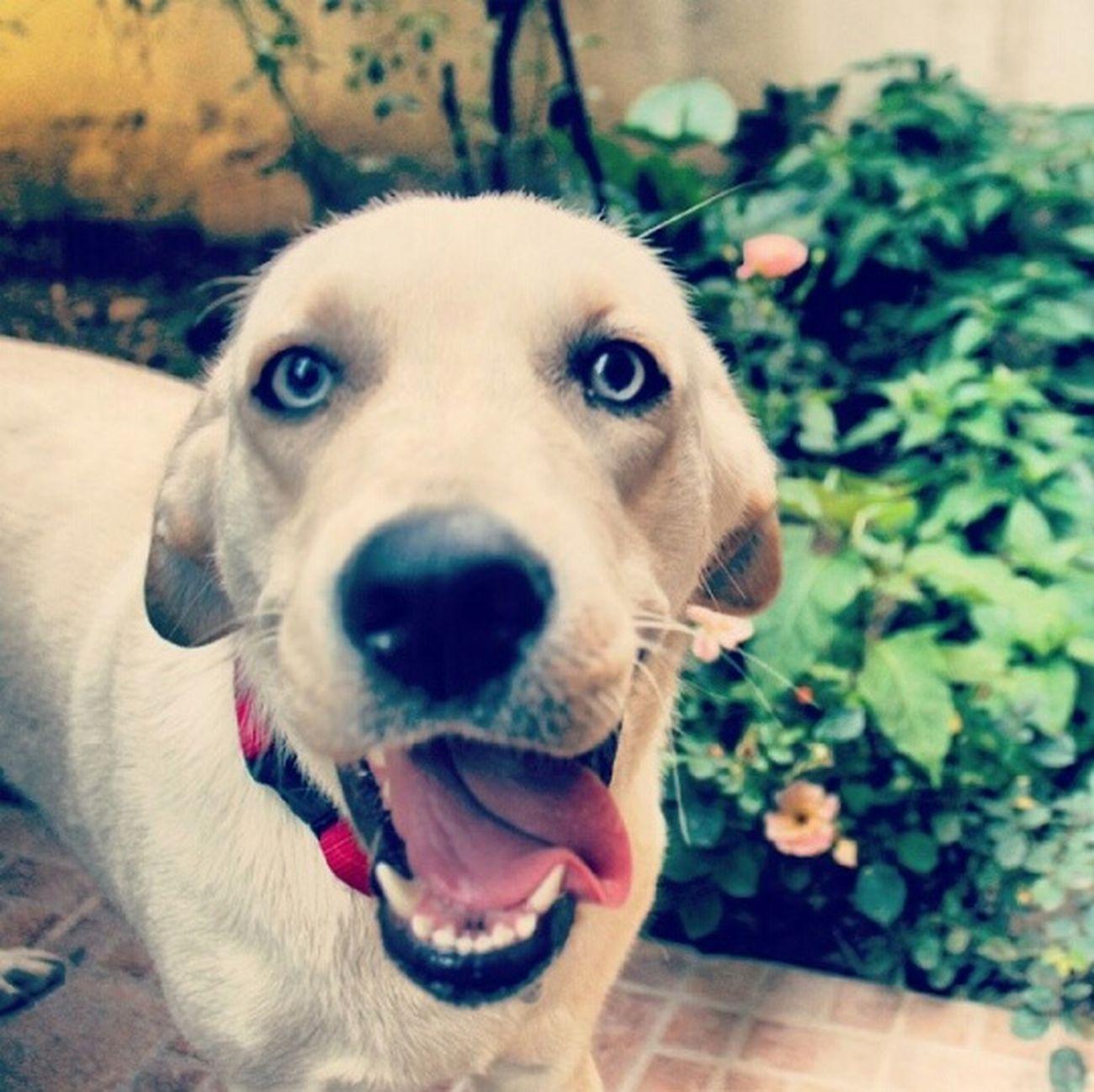 😍😍😍😍 Pet Mybabydog MyBabyGirl  Labrador Retriever Bestfriend Blue Eyes Pet Photography  Pet Love Petlover Fistik