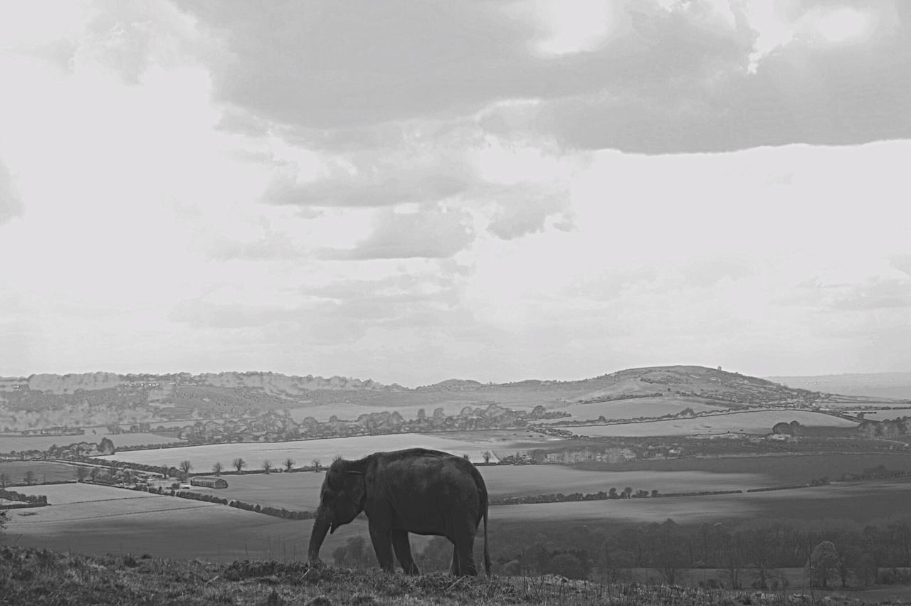 I wandered lonely as a cloud. Blackandwhite. Whipsnade Zoo Elephant Out Of Place  Black And White Black & White Hillside Countryside Lonely
