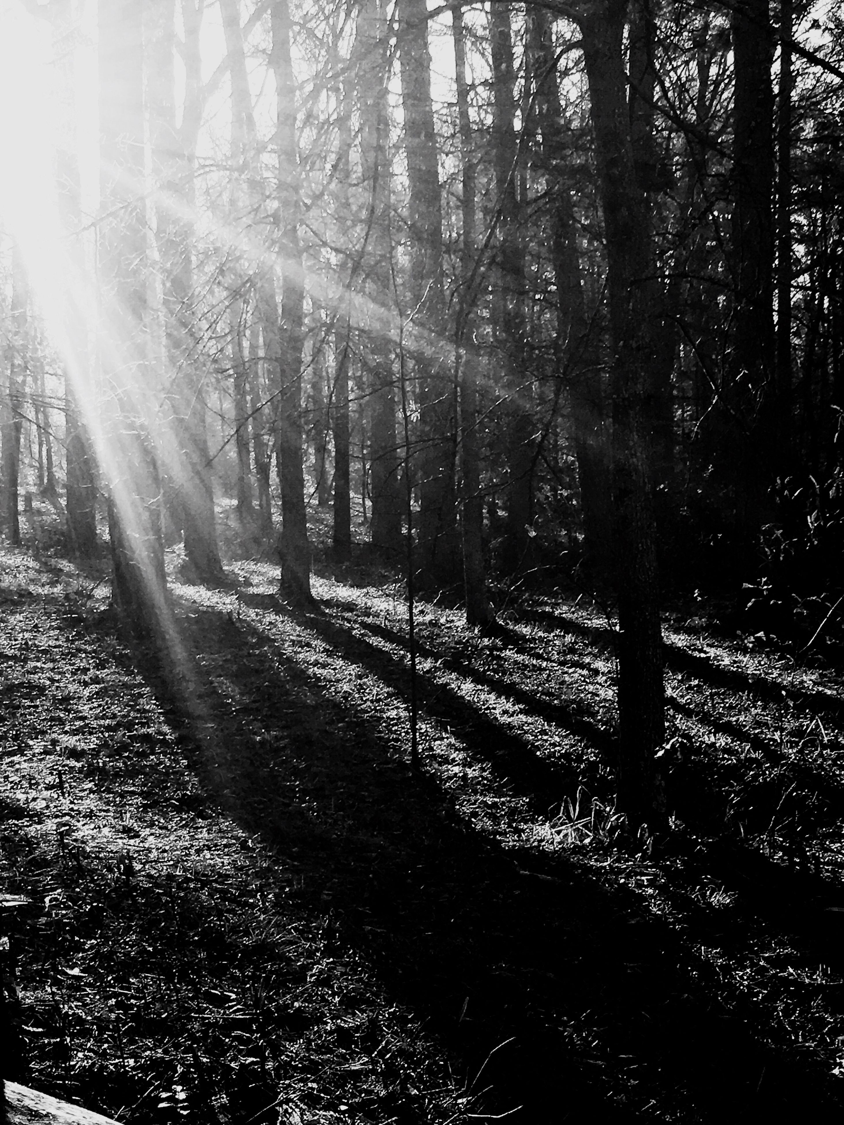tree, sunlight, sunbeam, sun, tree trunk, tranquility, forest, growth, nature, lens flare, tranquil scene, woodland, beauty in nature, shadow, scenics, branch, sunny, day, outdoors, footpath