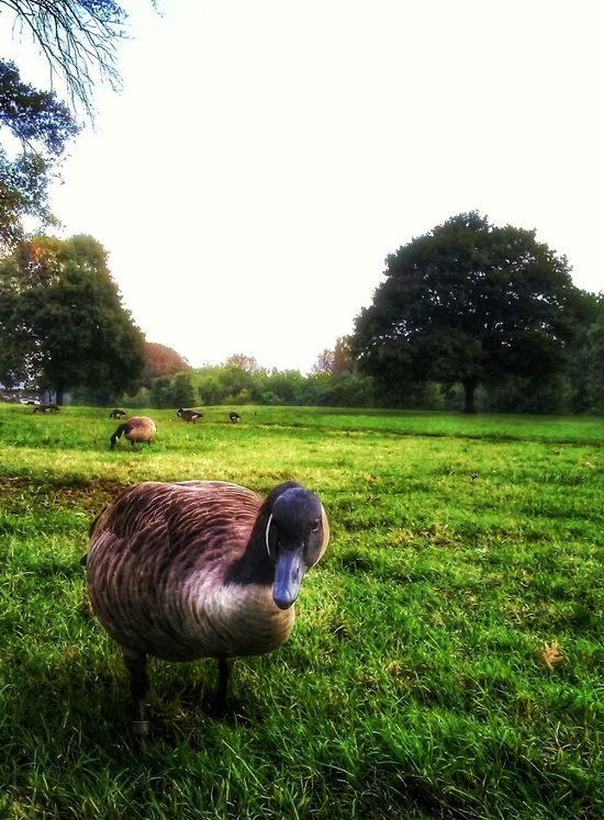 Goose Geese Geese Photography Stock Photography Backgrounds Popular Animals Animal Themes Green Color Grassy Nature Photography Landscapes No People Landscape Photography Tranquil Scene Scenics Outdoors Park Beauty In Nature September Days September Challenge One Animal Grass Bird