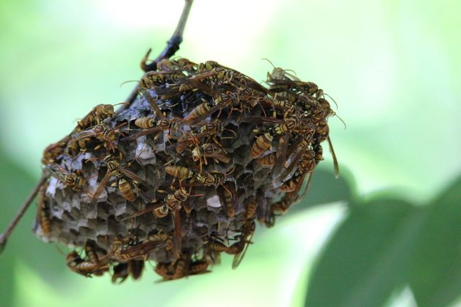 hornet' nest Hornets Wasps Wasp Nest Wasp At Work hornet Hornst Nature Nature_collection Nature Photography