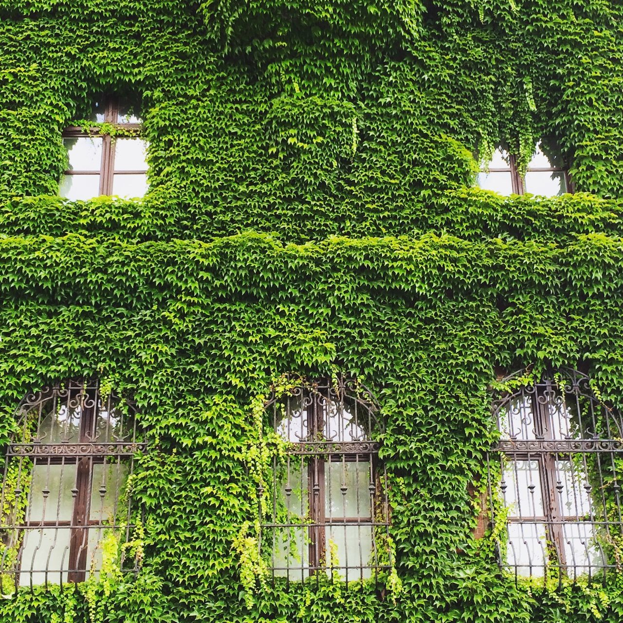 National Museum, Wrocław, Poland. Photo by Tom Bland. Green Color Building Exterior Ivy Creeper Plant Growth Polska Urban IPhone IPhoneography Wroclaw, Poland Wroclaw Wrocław City Europe European Capital Of Culture Architecture National Museum Poland Built Structure Green Façade Overgrown Building Museum