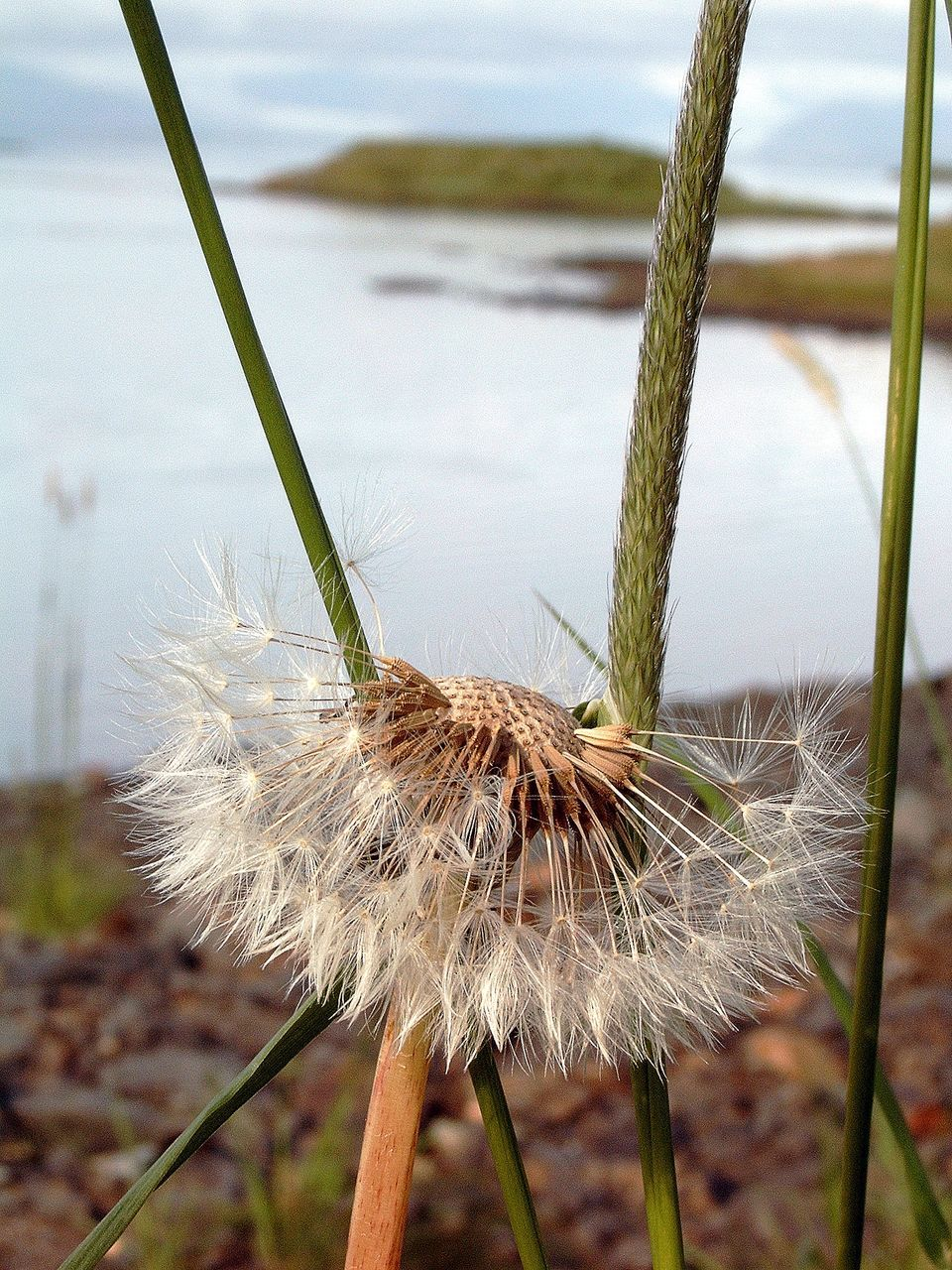 Close-Up Of Dandelion Growing Against Lake