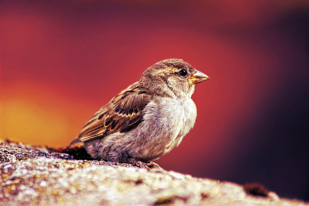 bird, one animal, animal themes, animals in the wild, animal wildlife, perching, no people, robin, close-up, songbird, nature, outdoors, side view, day, sparrow, red, full length, beauty in nature