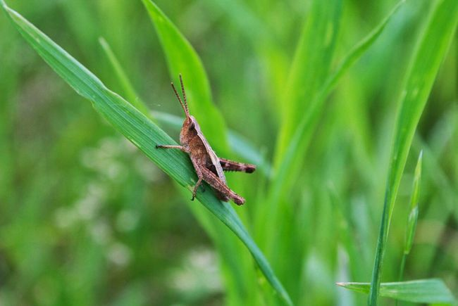 Brown Grasshopper Brown Grasshopper On A Blade Of Grass Grass Imsect Insect On A Blade Of Grass Macro Insect