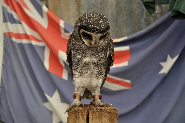 Barn owl in solemn posture with Australian Flag in the background at Caversham Wildlife Park in Whiteman, Western Australia. Animal Animal Themes Australia Australian Australian Flag Australian Wildlife Barn Owl Beak Bird Caversham Wildlife Park Close-up Day Faua Flag Looking Down One Animal Owl Perched Plumage Sad Solemn Western Australia Wildlife Wood - Material Zoology