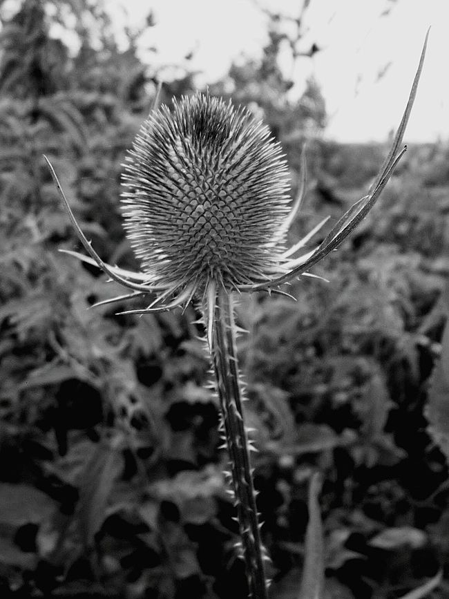 Growth Nature Fragility Plant Close-up Focus On Foreground Day Uncultivated Outdoors Beauty In Nature Thistle No People Flower Head Tutbury Castle Tutbury EyeEmNewHere Blackandwhite
