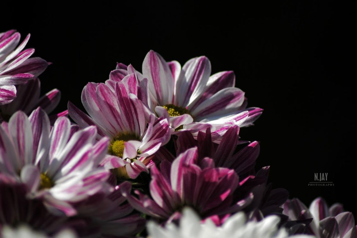 Aster Chrysanthemum Flowers Flowerporn Flowers,Plants & Garden Plant Macro Light And Shadow Blossom Pink Black Background Shadow Macroclique Streamzoofamily EyeEm Nature Lover Eye4photography  EyeEm Masterclass Garden Nature Pink Flower Blooming Botany Stripes Everywhere Nikon Beautiful Nature