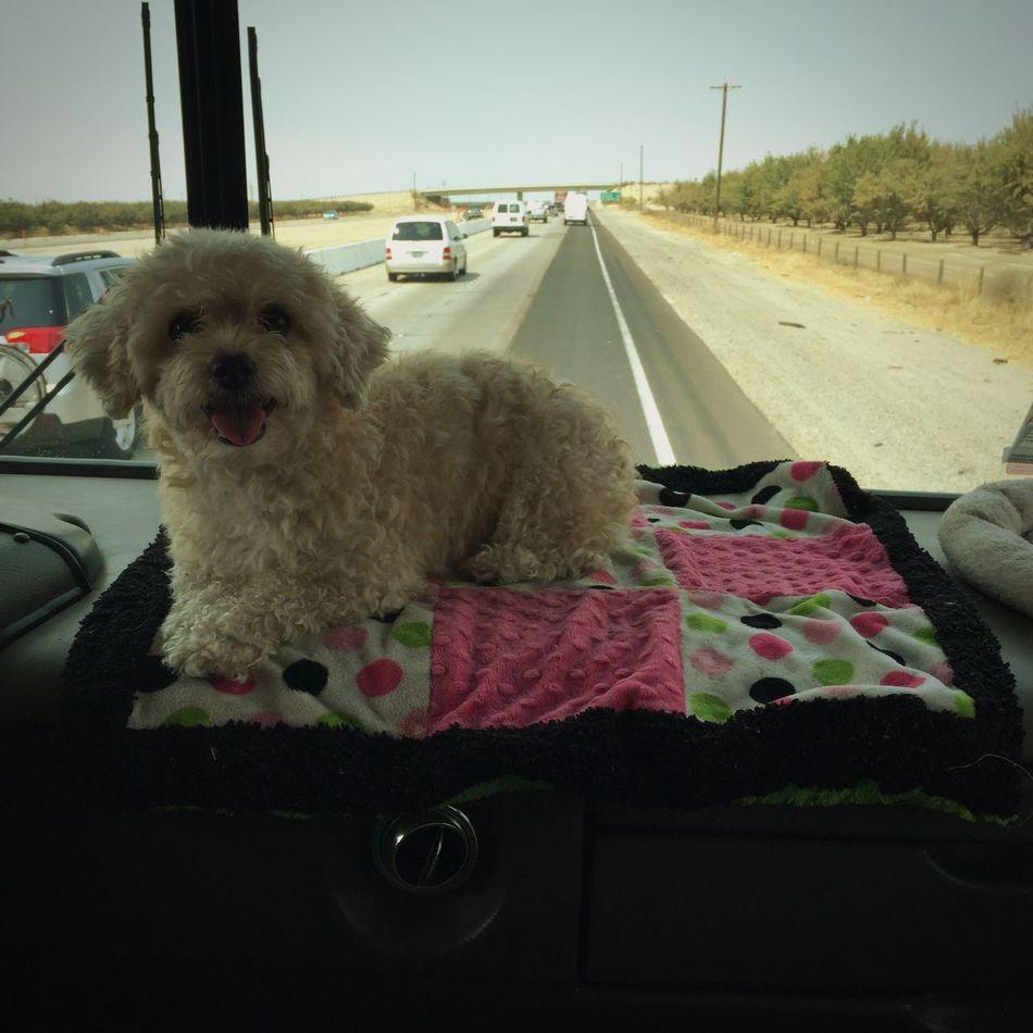 Adventure Buddies Traveling Pups Yorkiepoo