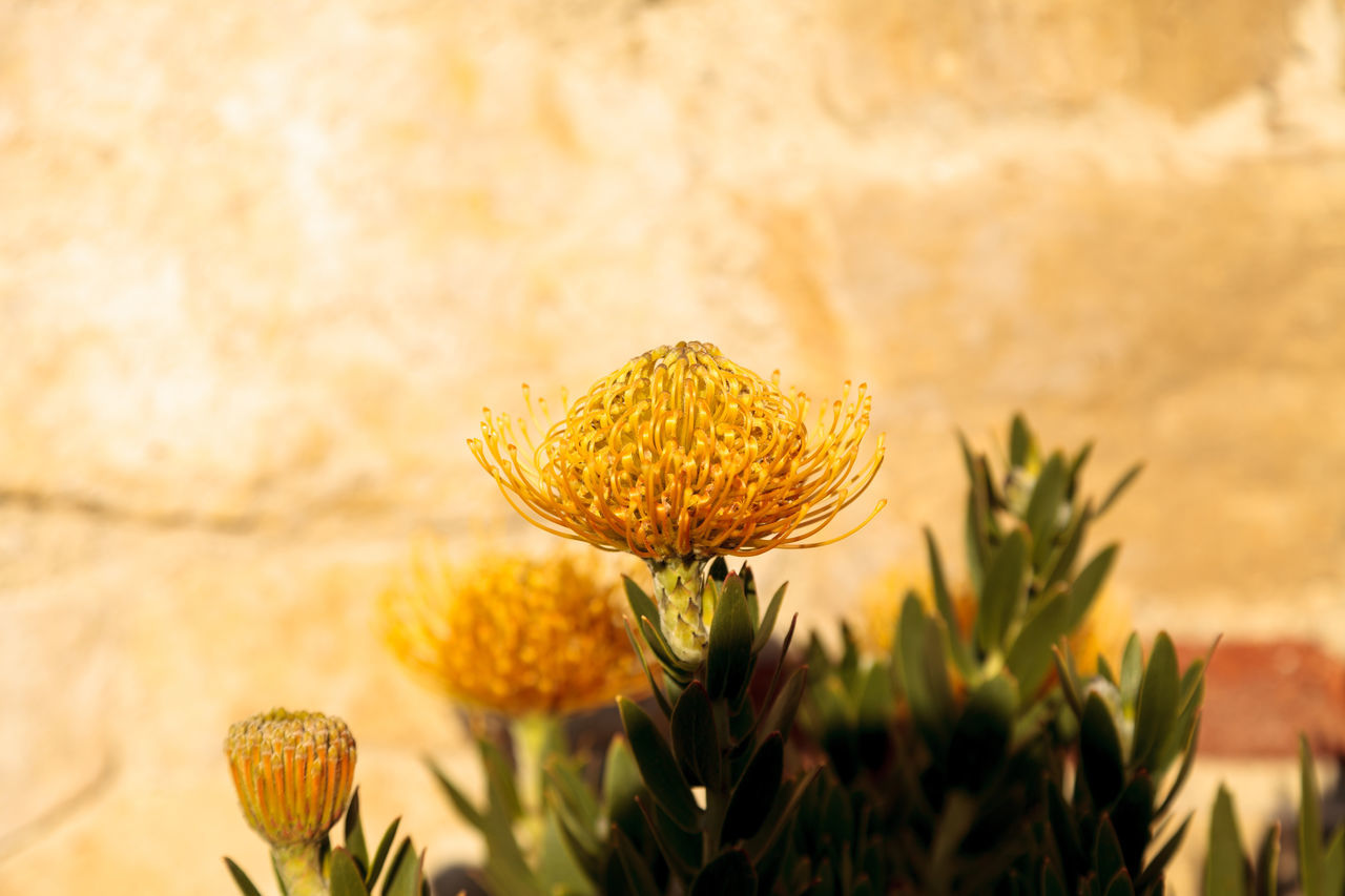 Yellow flowers of a pincushion protea Leucospermum succulent plant in a botanical garden Beauty In Nature Bloom Close-up Day Desert Flower Flower Head Fragility Freshness Growth Leucospermum Nature No People Outdoors Pincushion Protea Plant Protea Protea Flower Yellow Yellow Flower