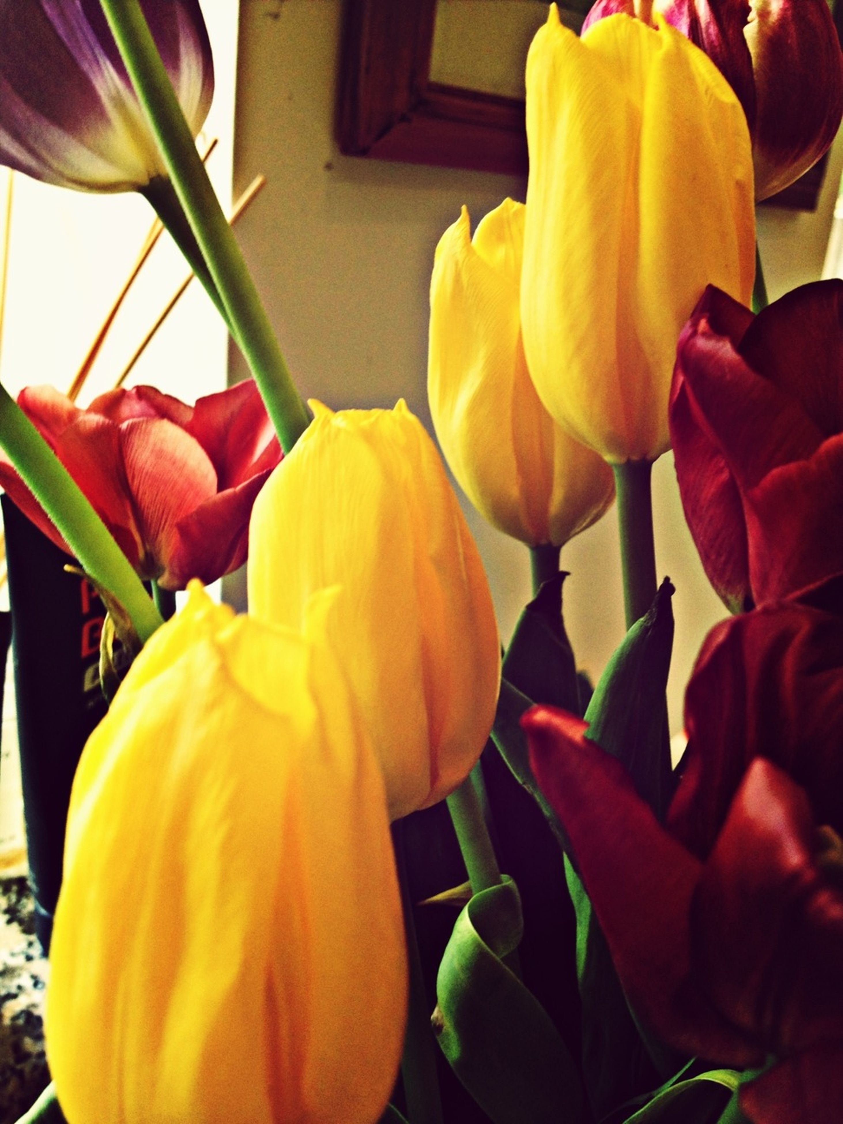 flower, petal, yellow, fragility, flower head, tulip, freshness, plant, growth, beauty in nature, rose - flower, blooming, close-up, red, nature, multi colored, day, leaf, outdoors, front or back yard