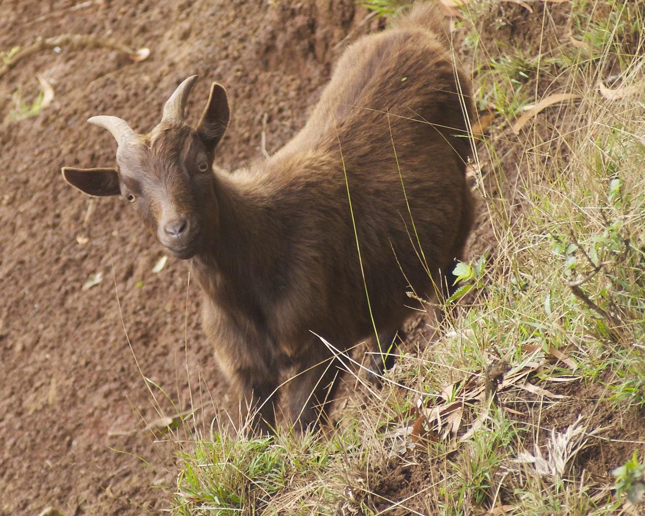 Animal Themes Day Domestic Animals Field Goats Kauai Hawaii Livestock Mammal Nature No People One Animal Outdoors