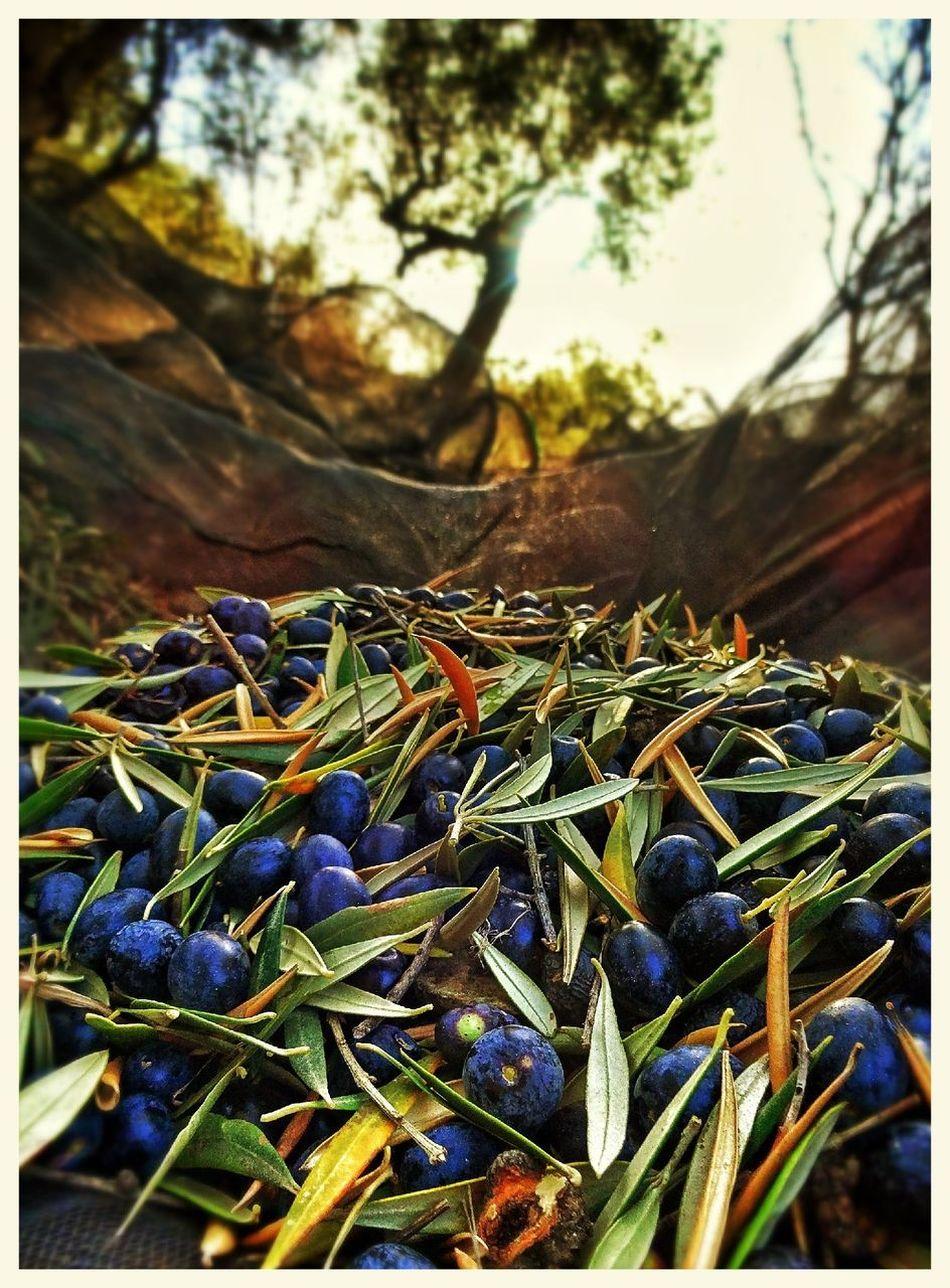 Olive Harvest Andalucía Snapseed