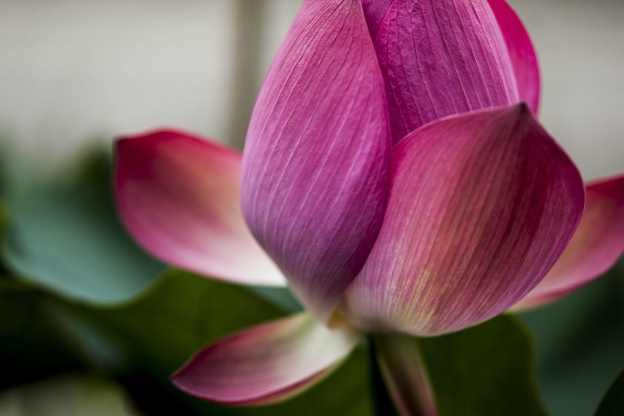 Lotus Pink Pink Flower Jogeasa Buddist Temple
