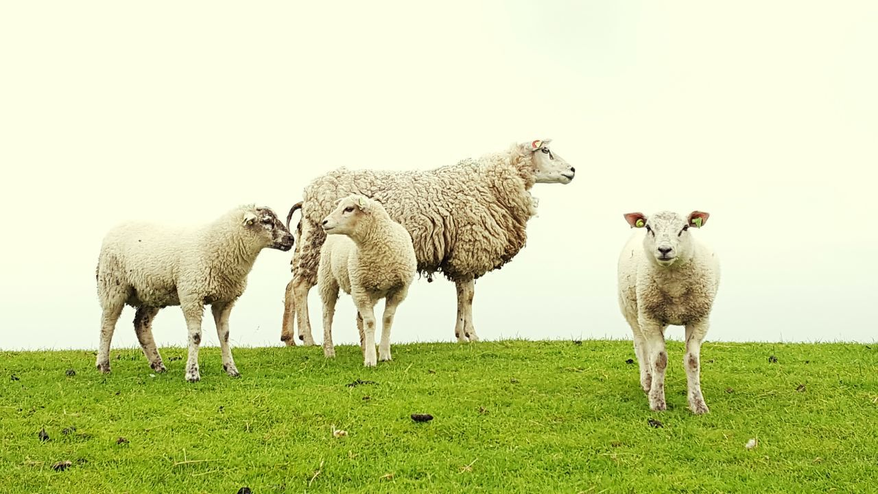 Nature's Diversities Sheeps Little Sheep Lammetje Schapen Sheepworld Dutch Sheep