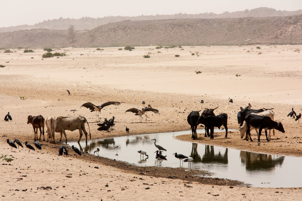 Africa Beauty In Nature Darfur Day Grass Grazing Herbivorous Landscape Livestock Mammal Medium Group Of Animals Nature No People Non Urban Scene Non-urban Scene Outdoors Pelican Rural Africa Scenics Sky Sudan Tranquil Scene Tranquility Water Watering Hole