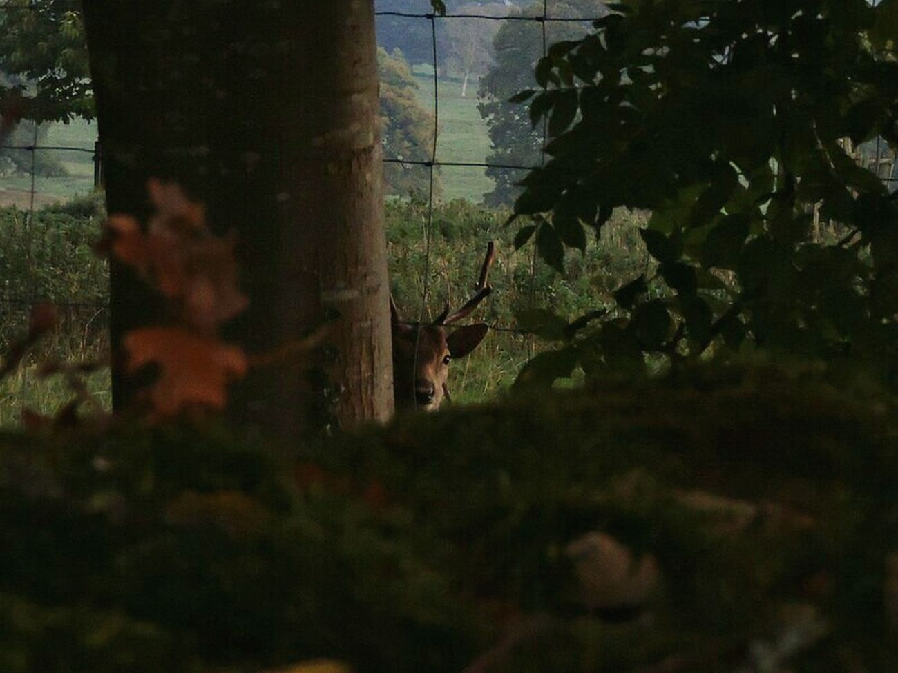 Taking Photos Check This Out Autumn🍁🍁🍁 Rural Scene Through The Fence Naturephotography EyeEm Nature Lover Watching Deer Deer ♥♥ Deersighting Deerhead Fallow Deer Naturelovers Beautiful Nature Nature On Your Doorstep Enjoying Nature Wildlife & Nature