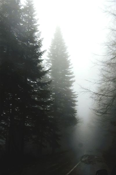 Tree Fog Forest Nature Pine Tree Weather Beauty In Nature Outdoors Cold Temperature No People Tree Snow