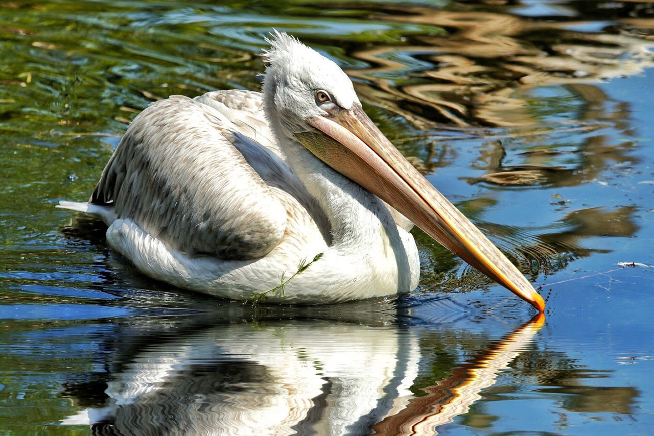 One Animal Bird Lake Water Animal Wildlife Animals In The Wild Reflection Animal Themes Nature Outdoors Day Ibis No People Pelican Close-up The Great Outdoors - 2017 EyeEm Awards Reflections Reflection_collection Reflections In The Water Reflection Photography Bird Photography Birds_collection