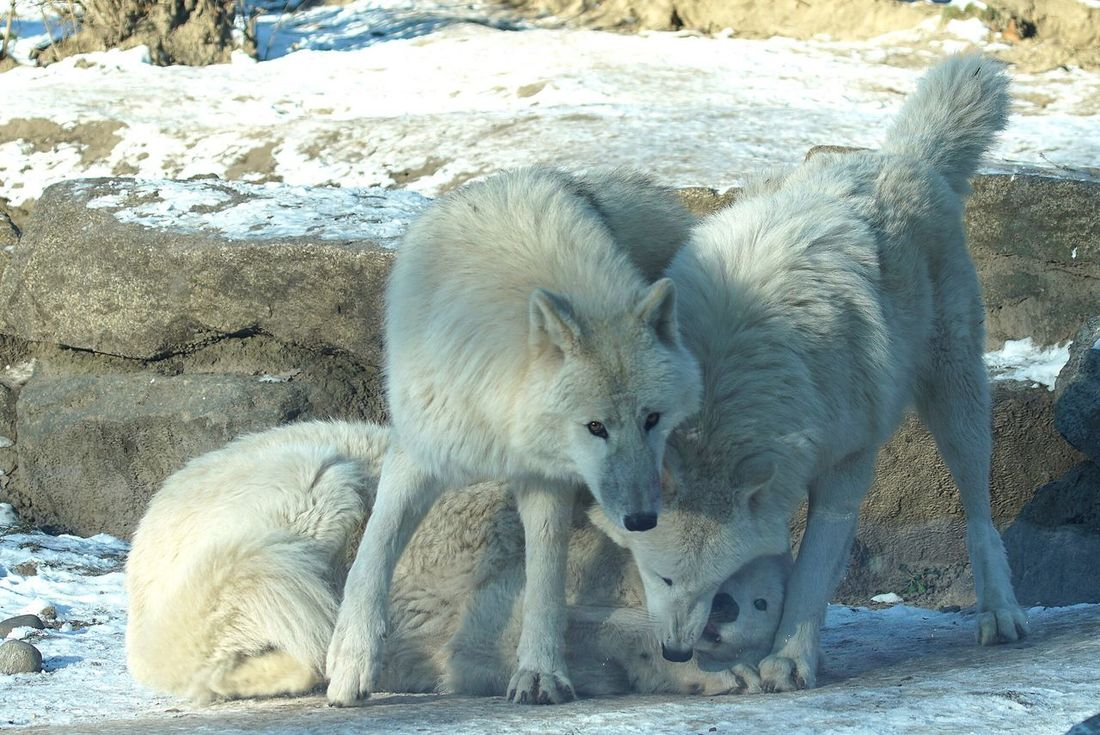 Wolf Wolfs  White Animals Zoo Berlin Wildlife Open Edit Tadaa Community Close-up Eye4photography  EyeEm Best Edits AMPt_community