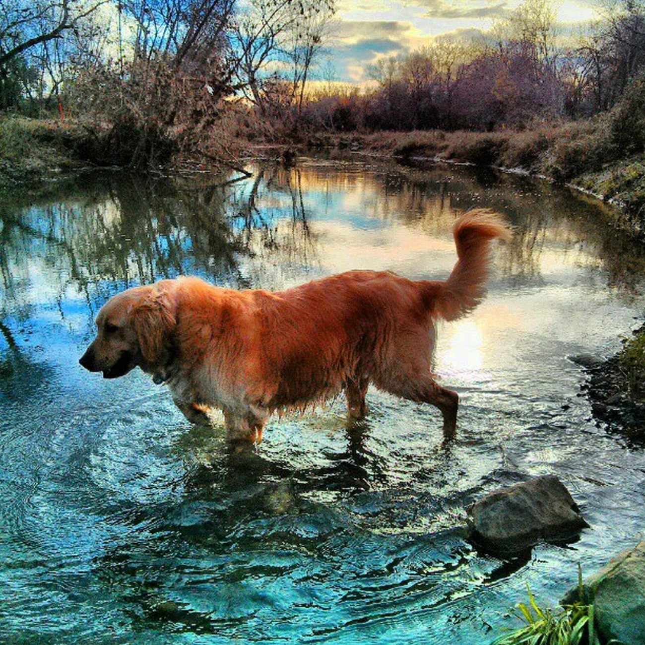 Beautiful end of the year at Putahcreek in Wintersca with Bailey. Dog Dogsofinstagram Landscape Waterscape Water Cloudscape Cloud Clouds Goldenretriever