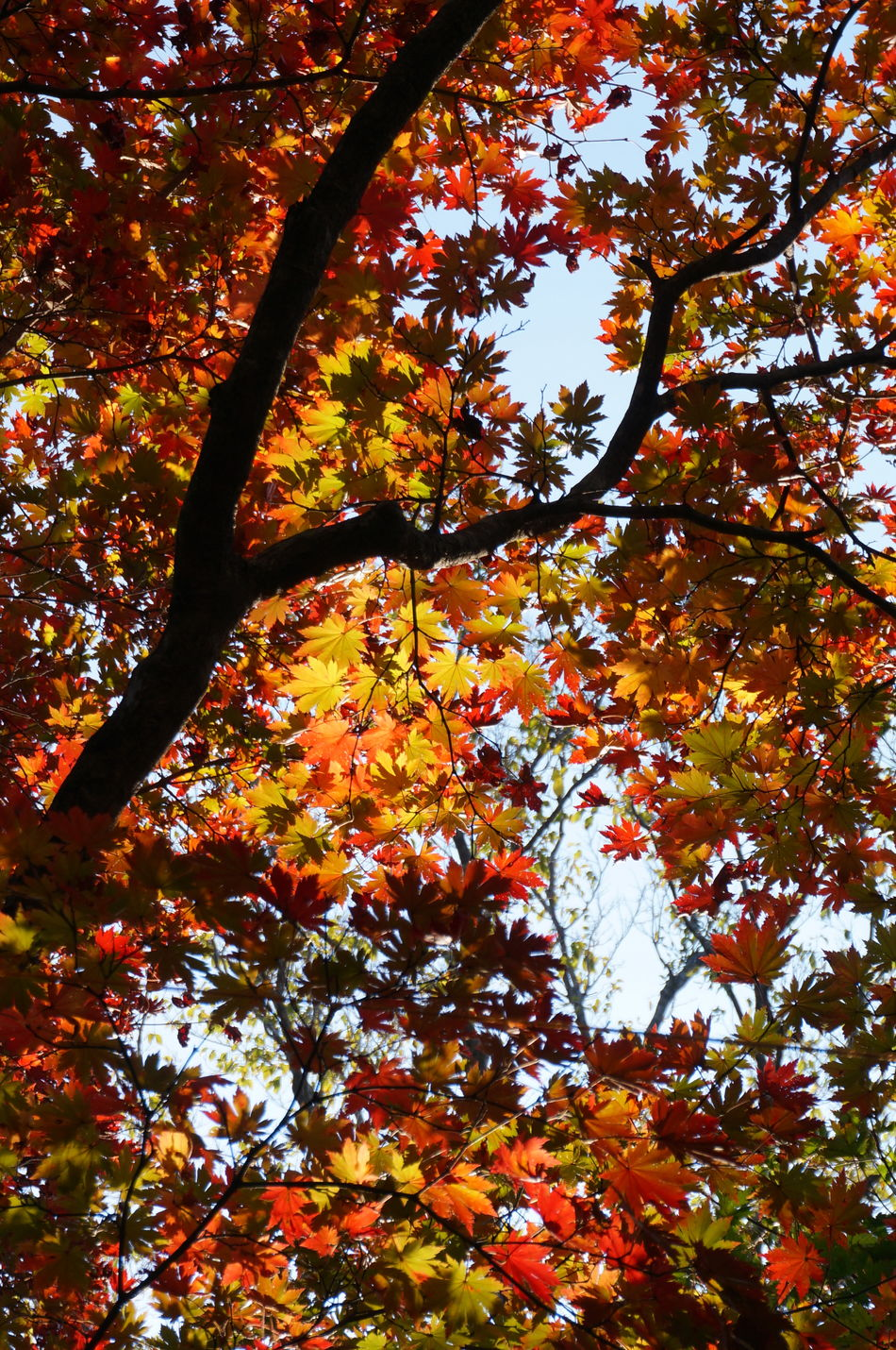 2013 Autumn Colors Hallasan Hallasan Mountain Jeju JEJU ISLAND  Leaf Leaves Maple Maple Leaf Nature Outdoors カンナ山 チェジュ島 ハルラ山 済州島 紅葉 韓国 단풍 한라산