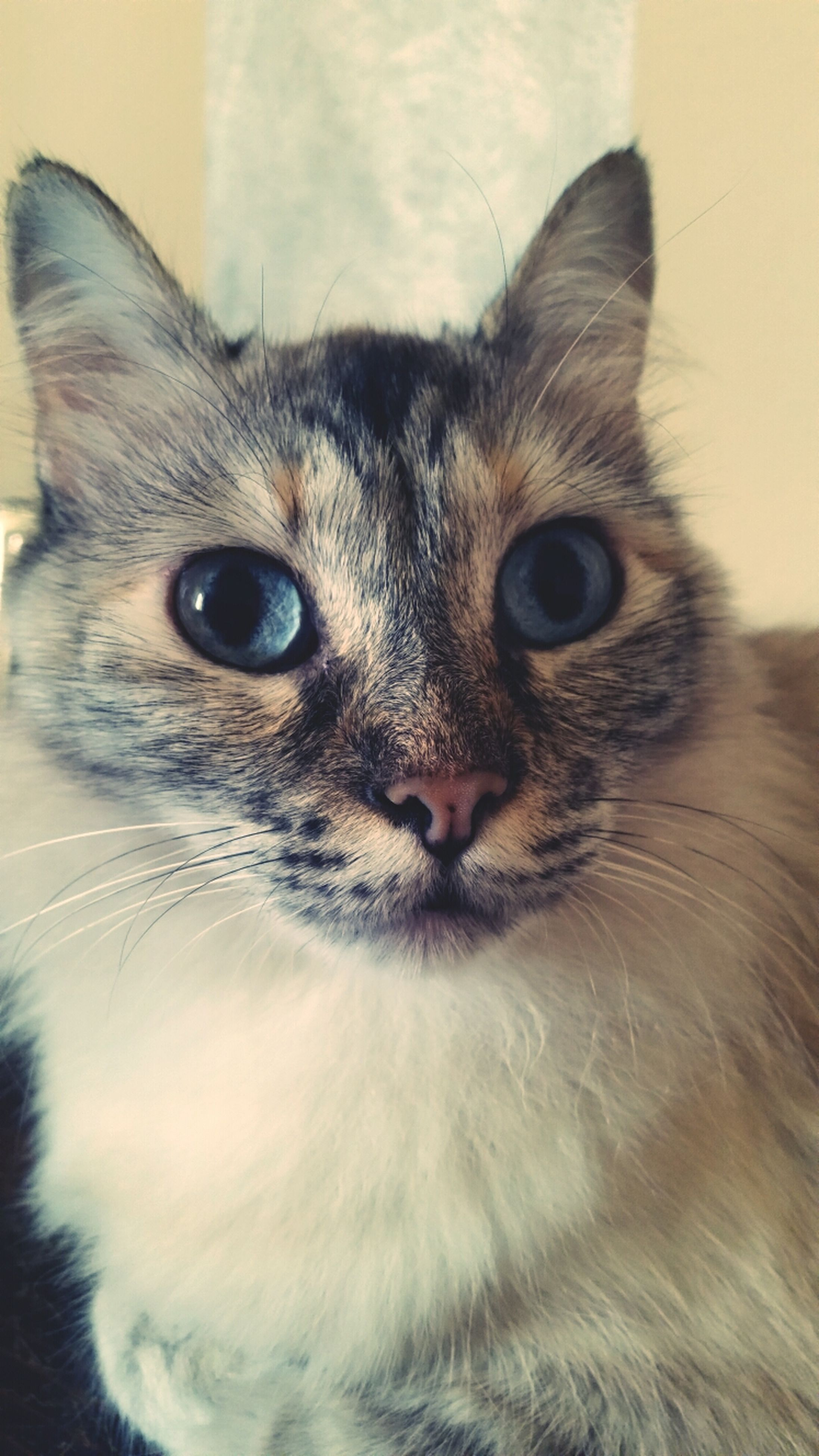 one animal, domestic cat, animal themes, pets, domestic animals, cat, feline, whisker, portrait, mammal, indoors, looking at camera, animal head, close-up, animal eye, staring, alertness, front view, animal body part