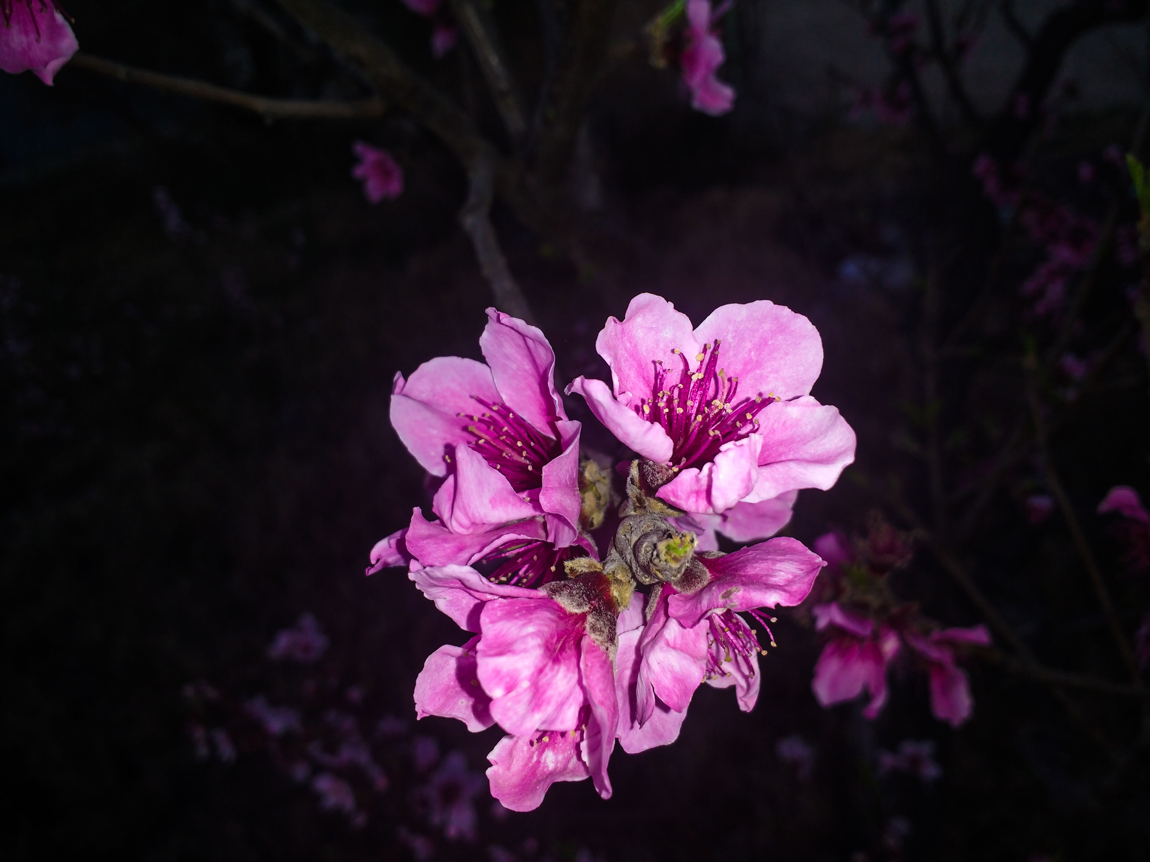 flower, fragility, freshness, growth, beauty in nature, petal, close-up, pink color, springtime, nature, in bloom, flower head, branch, blossom, botany, focus on foreground, selective focus, day, bunch of flowers, bloom, vibrant color, softness, cherry blossom, no people, growing, scenics