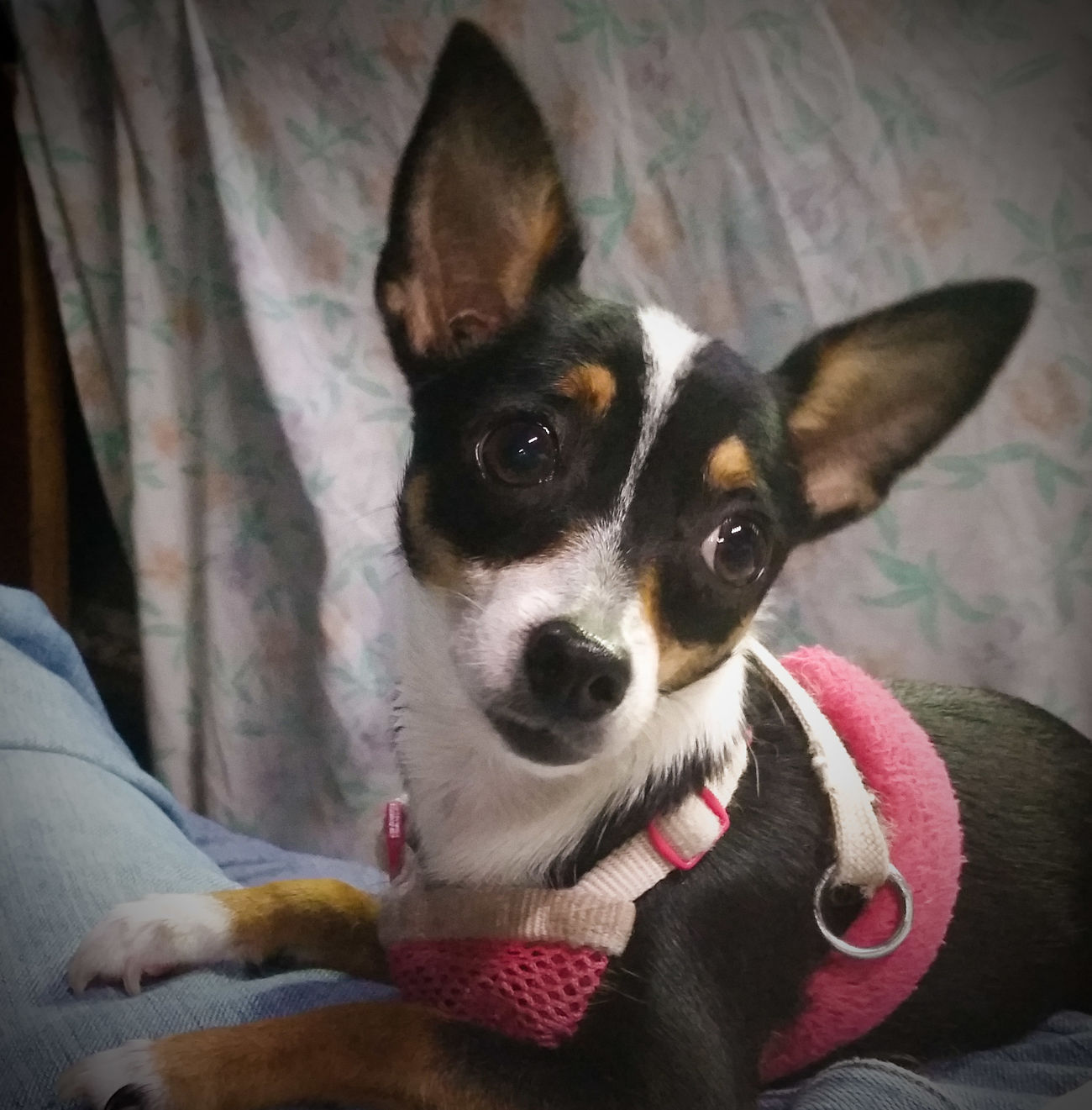 Kat Glamour Shots Cellphone Photography 6 Months Old Dog Named Kat Rat Terrier Spoiled Dog My Dogs Are Cooler Than Your Kids Not A Care In The World Chihuahua Puppy Multi Colored Chihuahualife Dog's Life Chihuahuas Of Eyeem Live Oak Animal Hospital Rescued ❤ Dog My Heart ❤