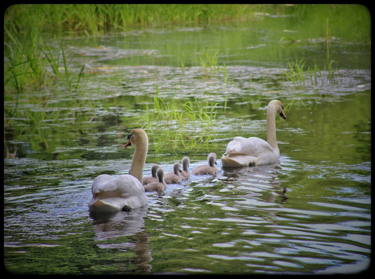 Lagan Canal Moira Northern Ireland Family Of Swans Swans Signets Signet Natures Magic Waterfowl Nature_collection Springtime Nature Beauty In Nature EyeEm Best Shots EyeEm Gallery Exceptional Photographs Our Best Pics The Great Outdoors - 2016 EyeEm Awards EyeEm Nature Lover Spring Spring Has Arrived Spring Birds Cute Baby Swans Natures Diversities