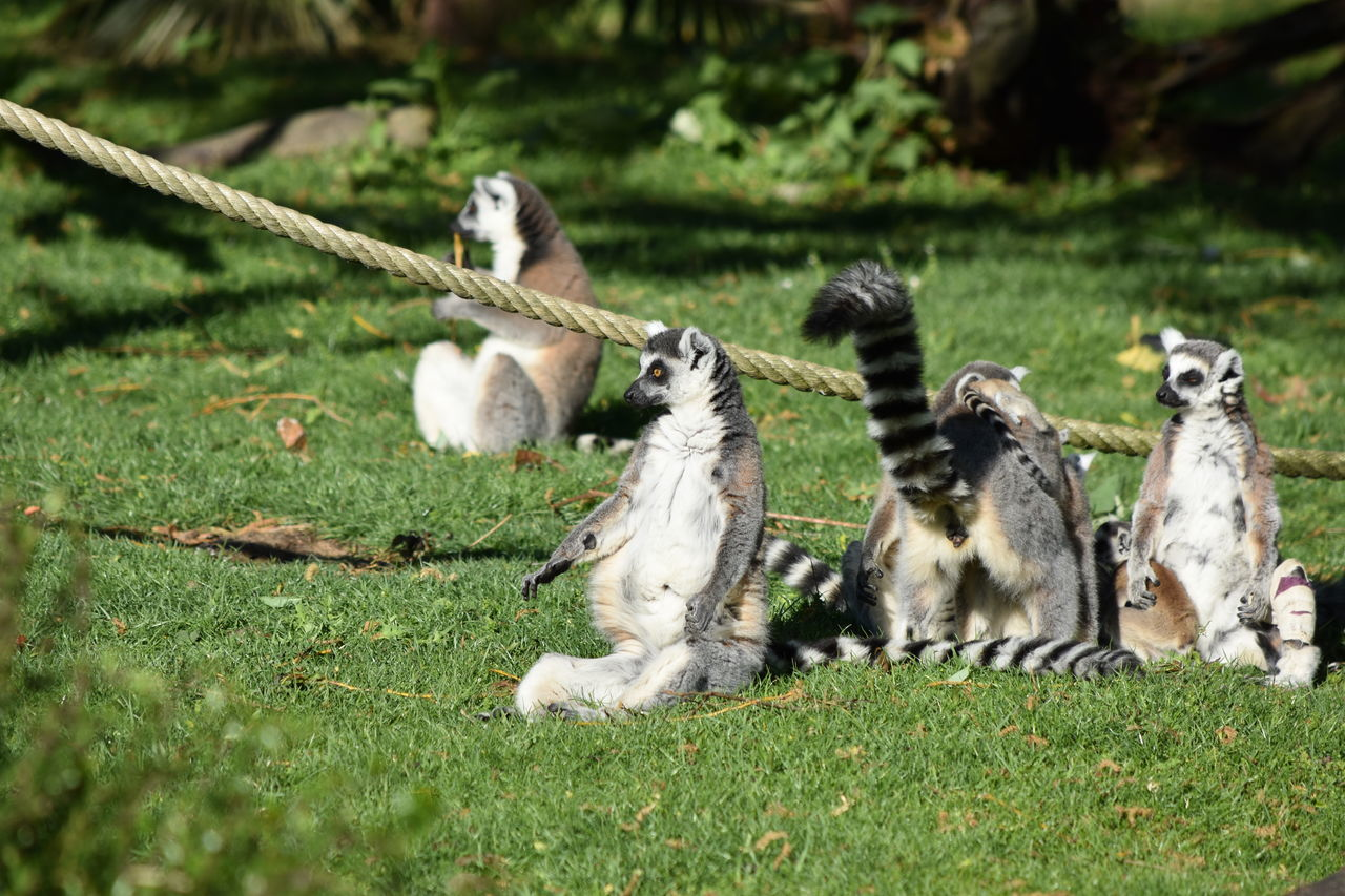 grass, animal themes, animals in the wild, field, mammal, animal wildlife, outdoors, day, nature, no people, monkey, lemur, bird, close-up