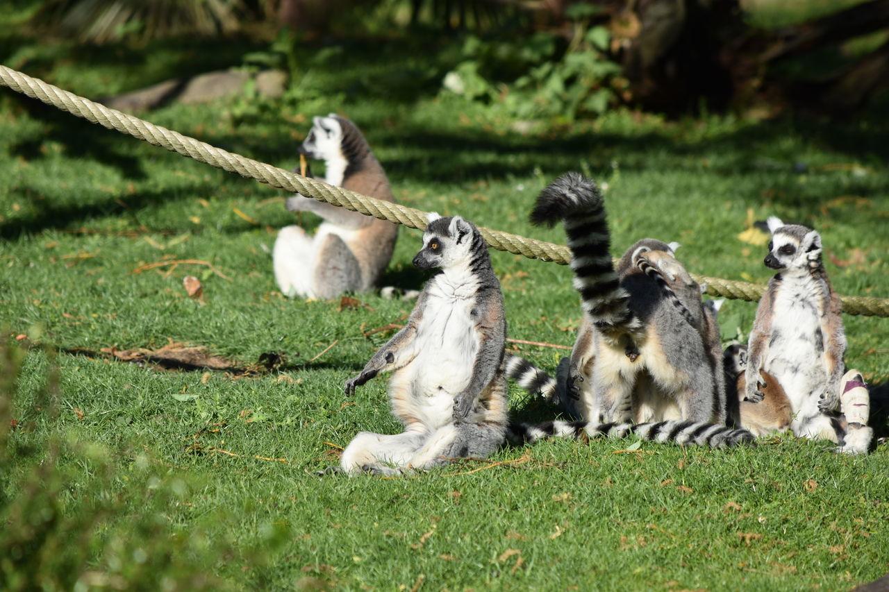 MAKI CATTA Animal Themes Animal Wildlife Animals In The Wild Beauval Bird Day Field Grass Lemur Lemur Catta Lémuridés -Varecia Variegata Subcincta MAKI CATTA Mammal Monkey Nature No People Outdoors Zoology