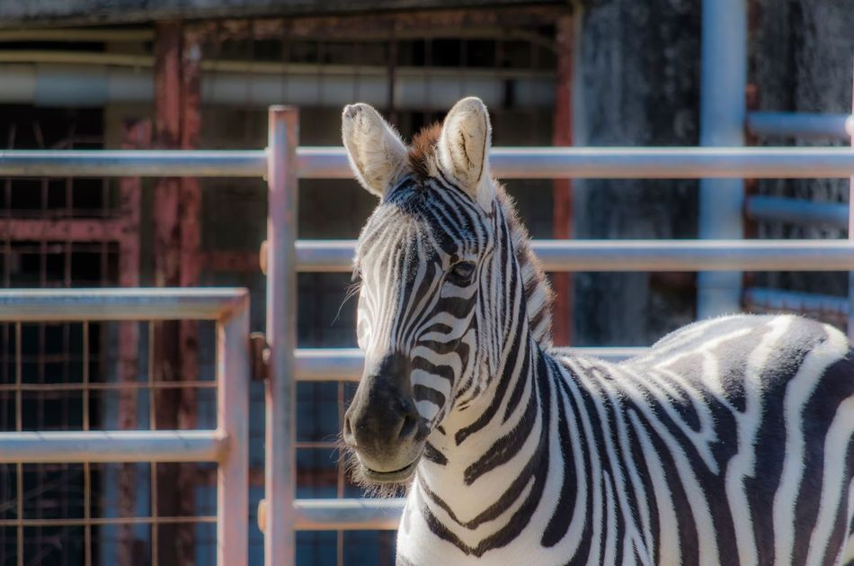 Beautiful stock photos of zebra, Animal Markings, Animal Themes, Animals In Captivity, Animals In The Wild