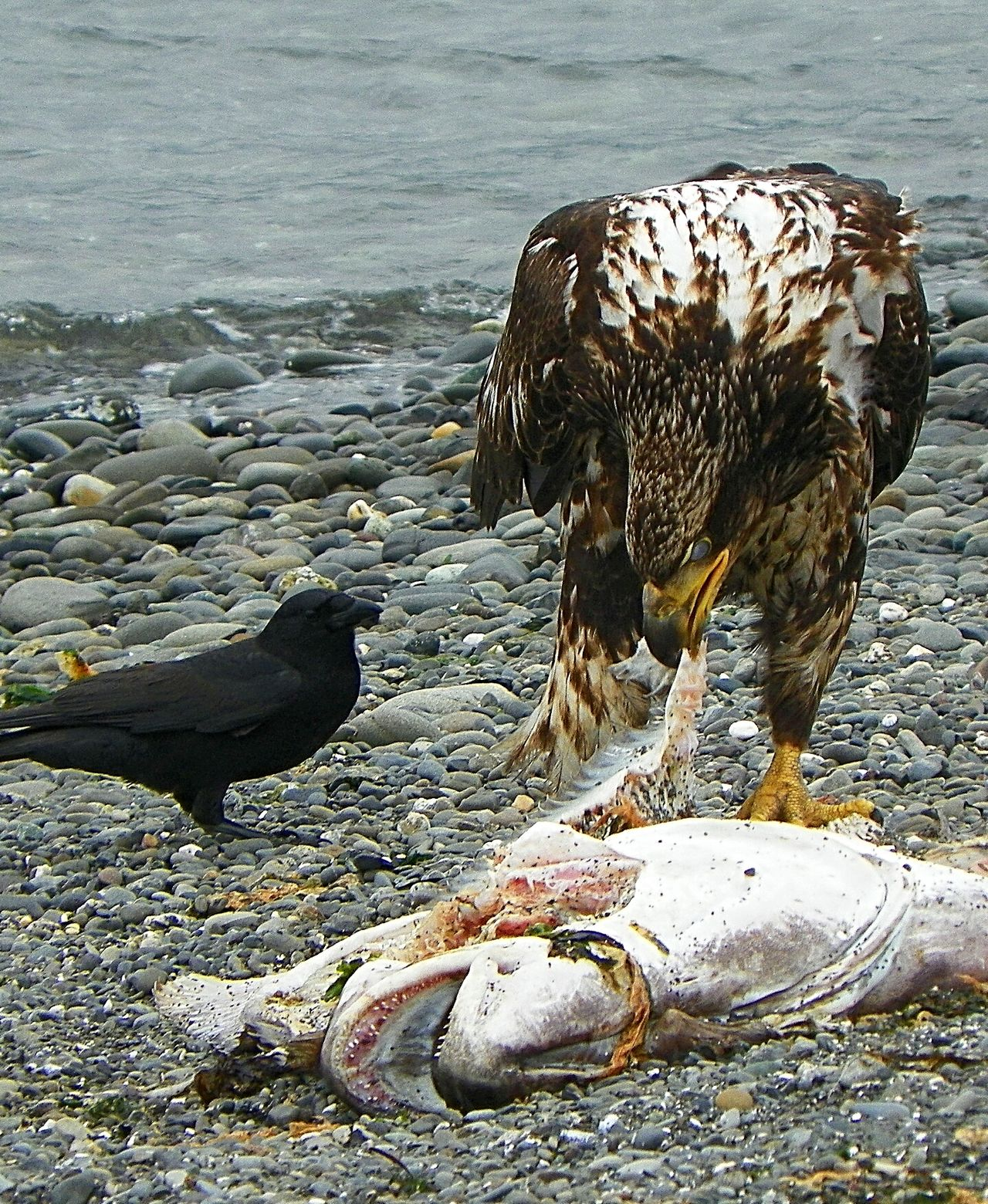 Bald Eagle and Crow taking advantage of halibut season. Bird Photography Eaglephotography Eagle Young Eagle Beach Eagle And Raven Nature Photography Bird Of Prey Port Angeles Washington Brave Little One The Great Outdoors - 2016 EyeEm Awards EyeEm Best Shots EyeEmBestPics Eye4photograghy Pacific Northwest  Check This Out Beach Life EyeEm Gallery Raptor Natures Diversities EyeEm Best Shots - Nature The EyeEm Collection
