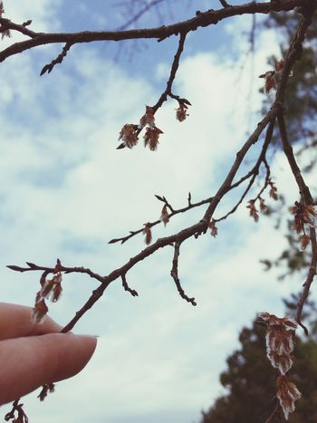 Bud Buds Flower Buds Branch Branches Tree Branches Tree Trees Sky Clouds Hand Fingers Pretty Human Hand Human Body Part One Person Low Angle View Nature Outdoors Day Cloud - Sky Close-up People Real People The Beauty Of Everyday Things