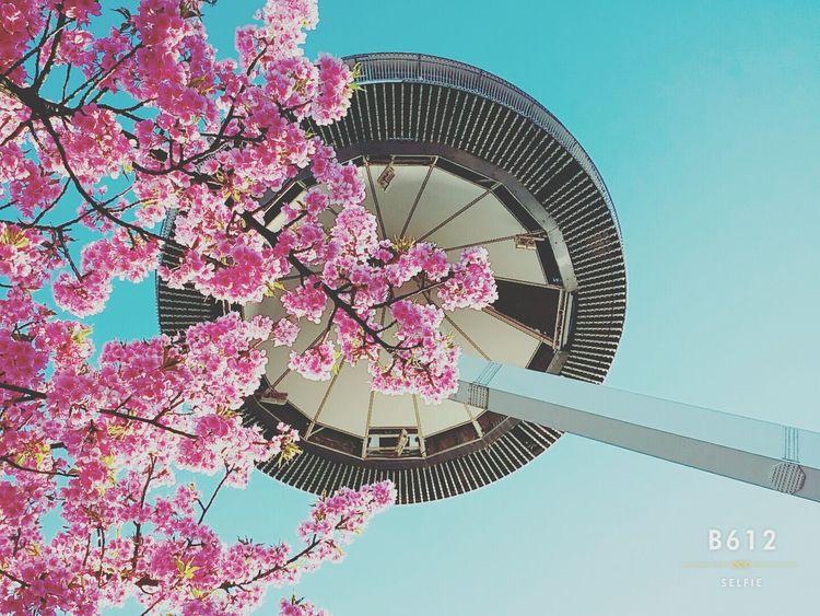 Japan Good Memory Sakura Pupular