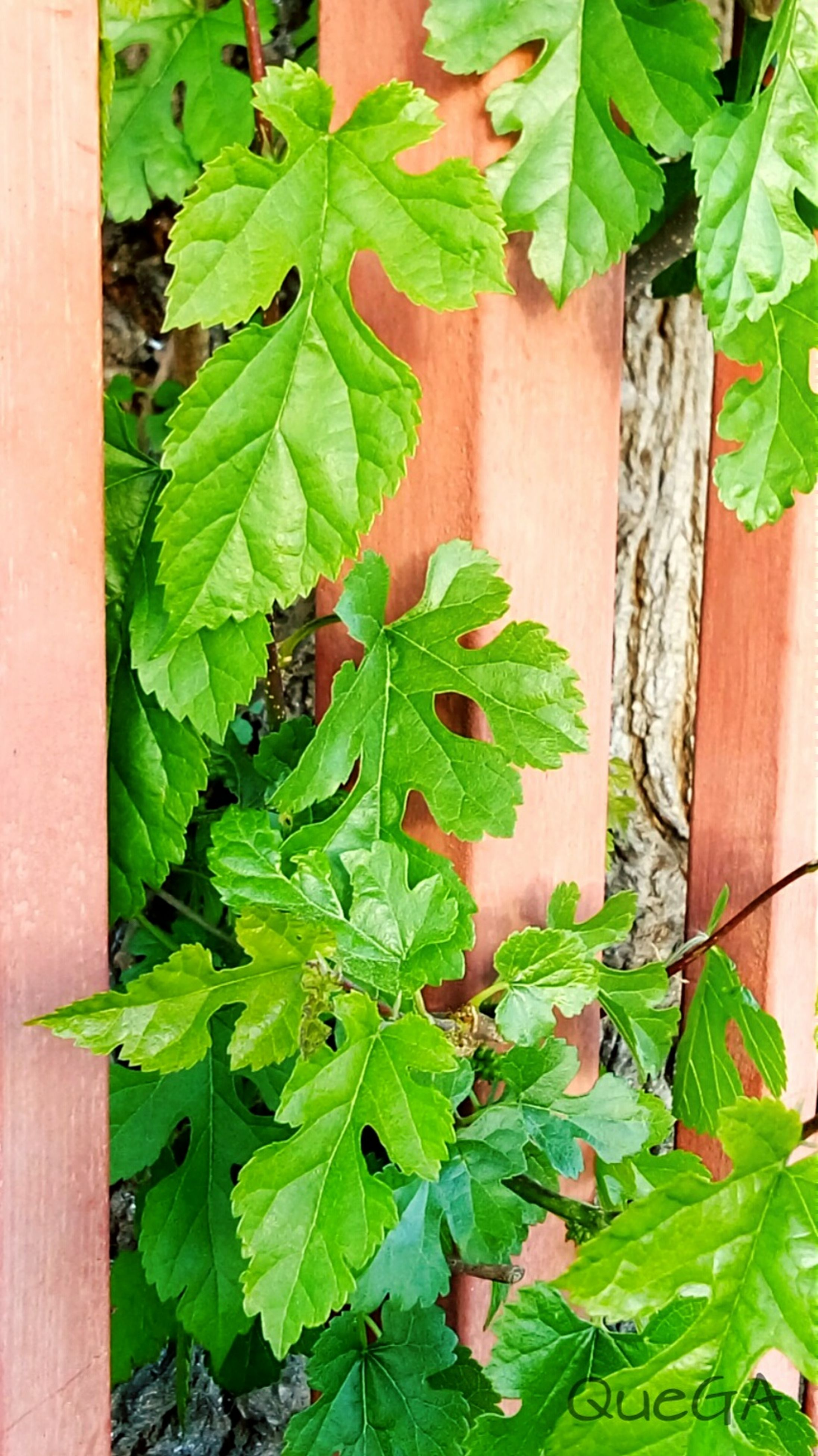 leaf, green color, growth, plant, ivy, nature, close-up, green, growing, wood - material, no people, day, front or back yard, leaf vein, creeper plant, outdoors, built structure, potted plant, sunlight, freshness