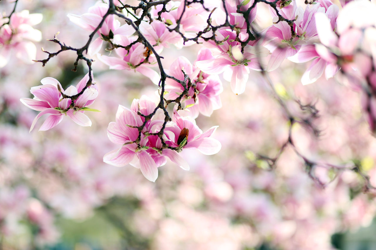 Beauty In Nature Blossom Day Flower Flower Head Fragility Freshness Growth Magnolia Nature No People Pink Color Plant Springtime Tree