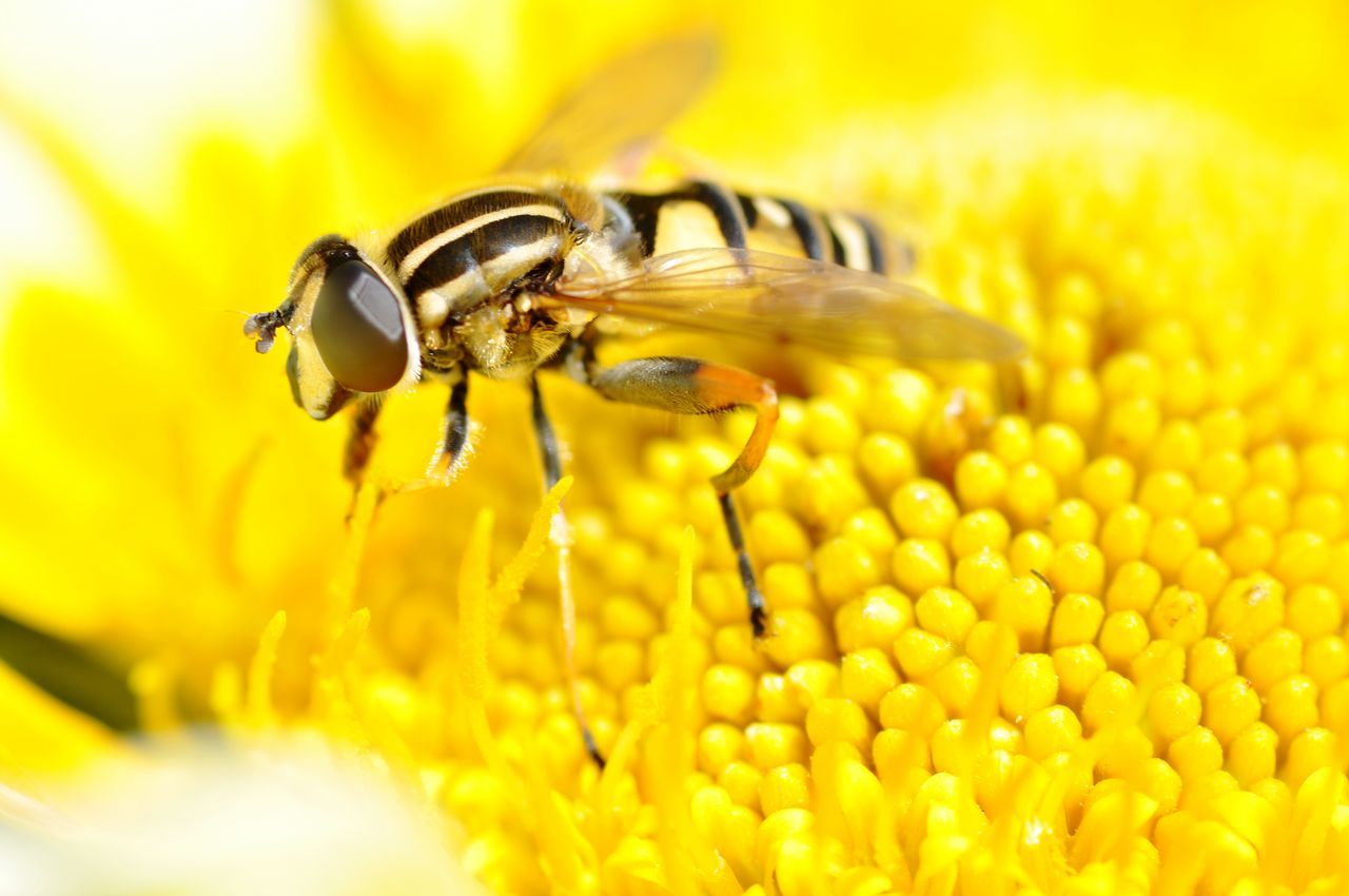 Animal Insects Bee Macro Yellow Eye4photography  Nature Flower Insect Photography Macrowold Animal_collection Animals Animals In The Wild