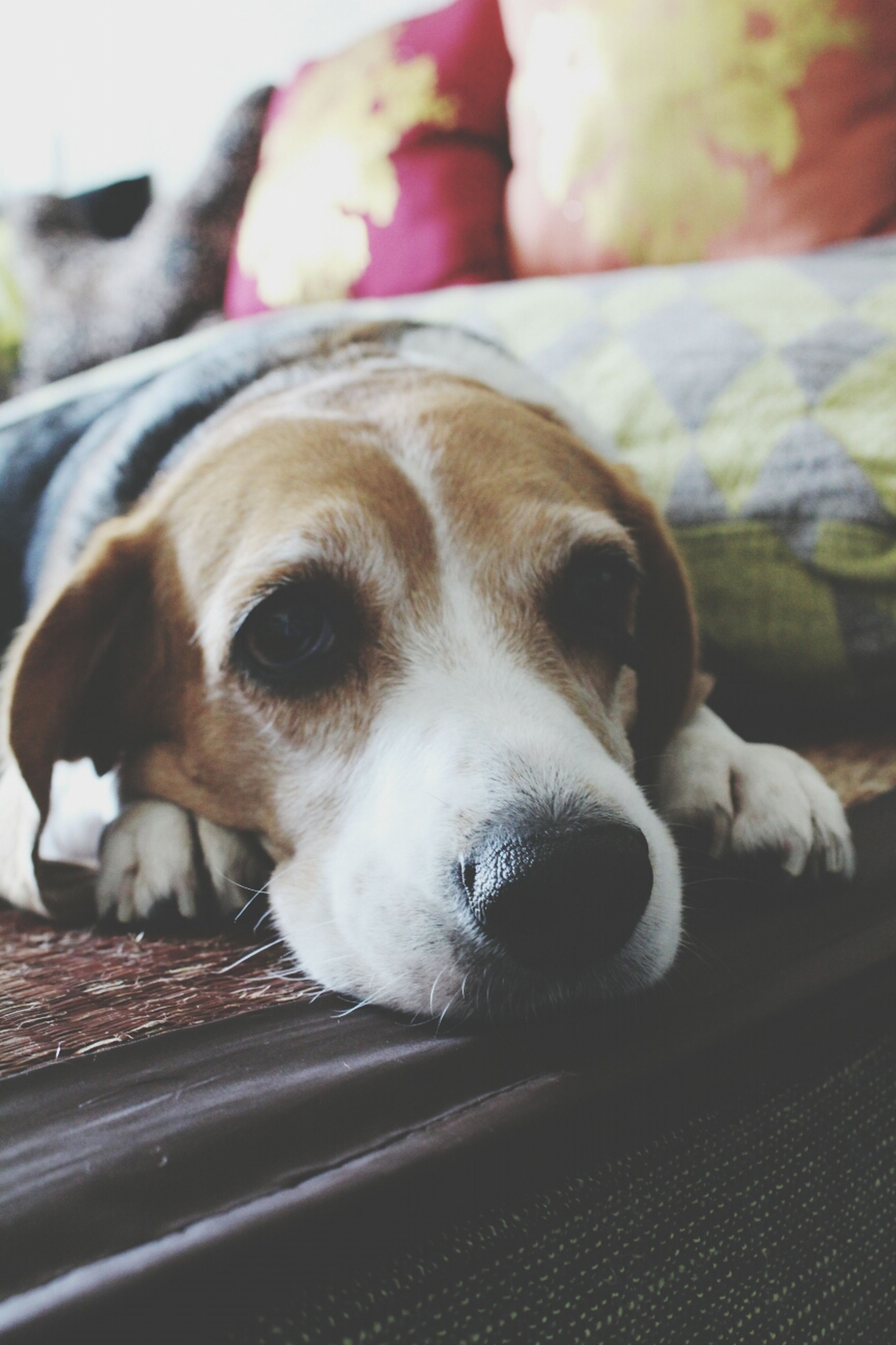 pets, domestic animals, dog, indoors, animal themes, mammal, one animal, relaxation, resting, portrait, sofa, lying down, looking at camera, close-up, animal head, home interior, bed, comfortable, no people, relaxing