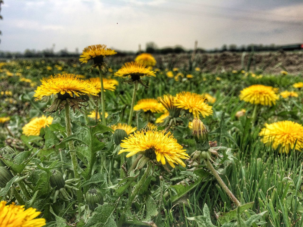Blooming Dandelion Field Flower Grass Nature Nature Yellow First Eyeem Photo