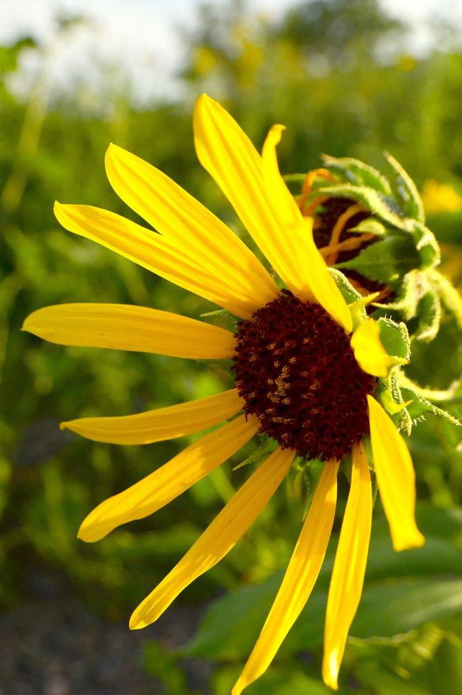 Sunflower in focus Bright Yellow Close-up Beauty In Nature Field Full Of Sunflowers Sunny Afternoon Pretty Yellow Pedals Hot Summer