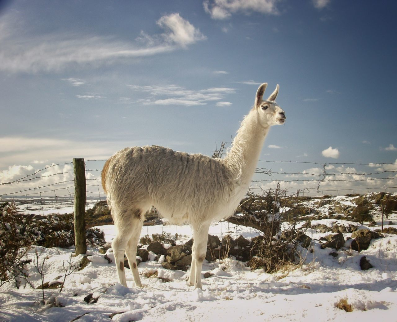 Beautiful stock photos of llama, Animal Themes, Beauty In Nature, Cold Temperature, Conwy