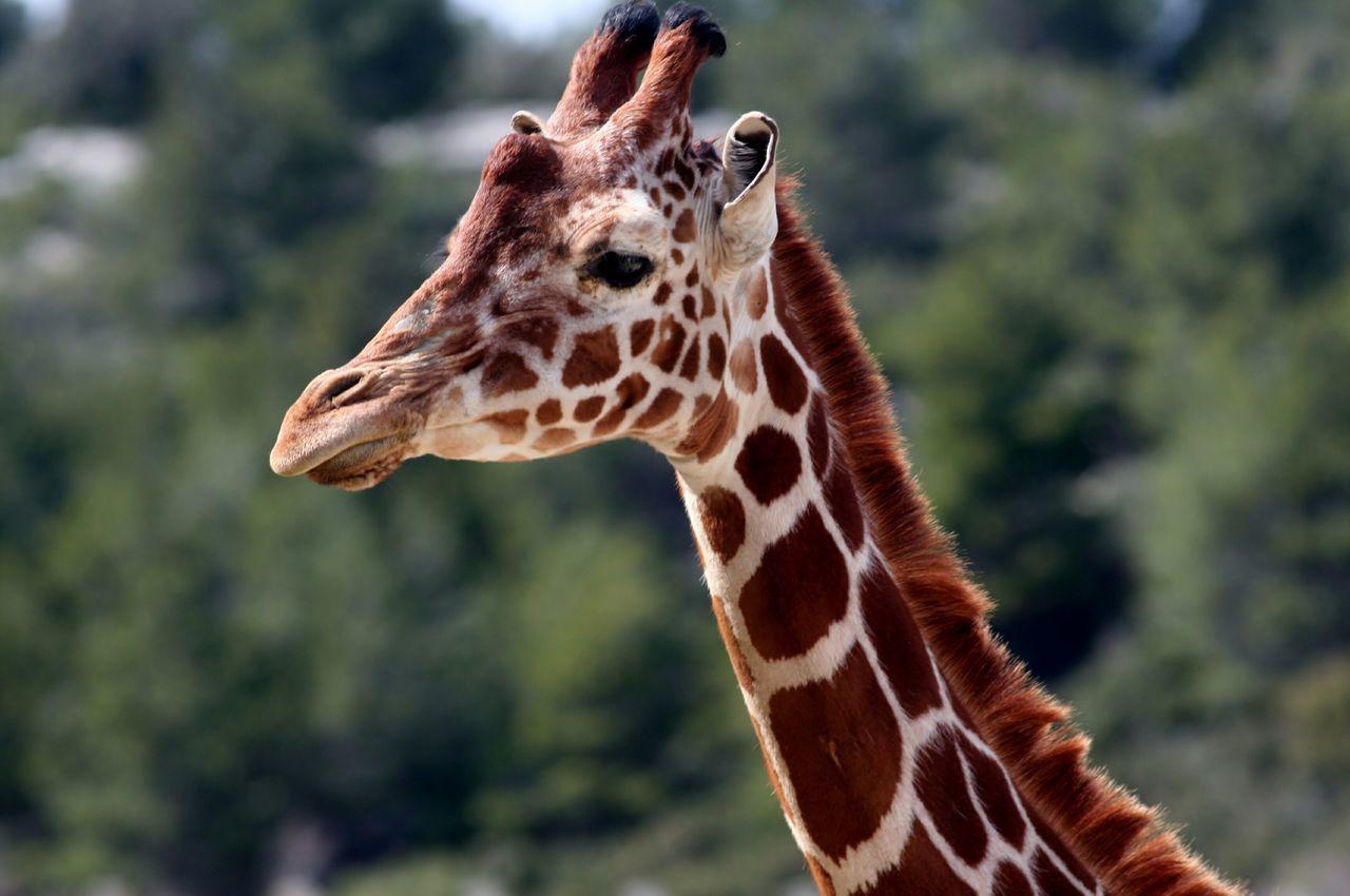 Beautiful stock photos of giraffe, Animal Markings, Animal Neck, Animal Themes, Animals In The Wild