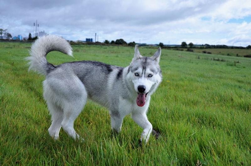 Alaskan BlueEyes EyeEm Dog EyeEm Dogs Husky Syberianhuskey Sybrian Wolf