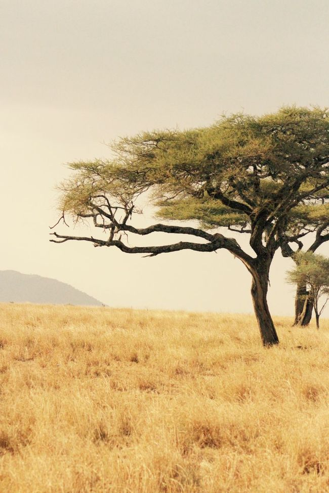 Acacia Tree Africa Beauty In Nature Branch Clear Sky Countryside Distance Grass Horizon Over Land Landscape Leopard Leopard In Serengeti Leopard In Tree Outdoors Safari Safari Animals Scenery Scenics Single Tree Space For Text Tanzania Tranquil Scene Tranquility Tranquility Tree